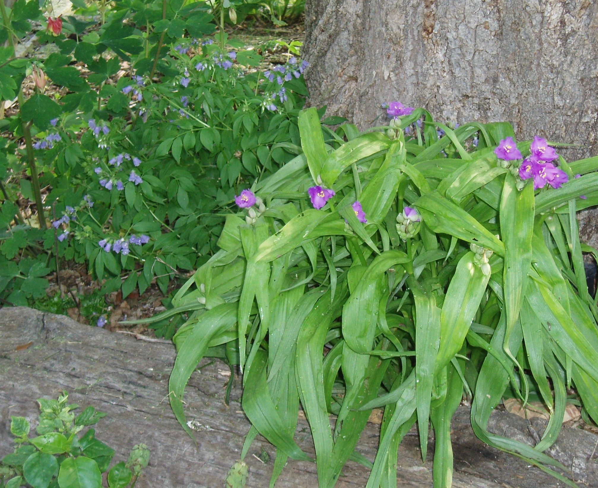 "{""blocks"":[{""key"":""bnlc8"",""text"":"" Tradescantia ernestina Ernest's Woodland Spiderwort - potted plants email john@easywildflowers.com"",""type"":""unstyled"",""depth"":0,""inlineStyleRanges"":[],""entityRanges"":[],""data"":{}}],""entityMap"":{}}"