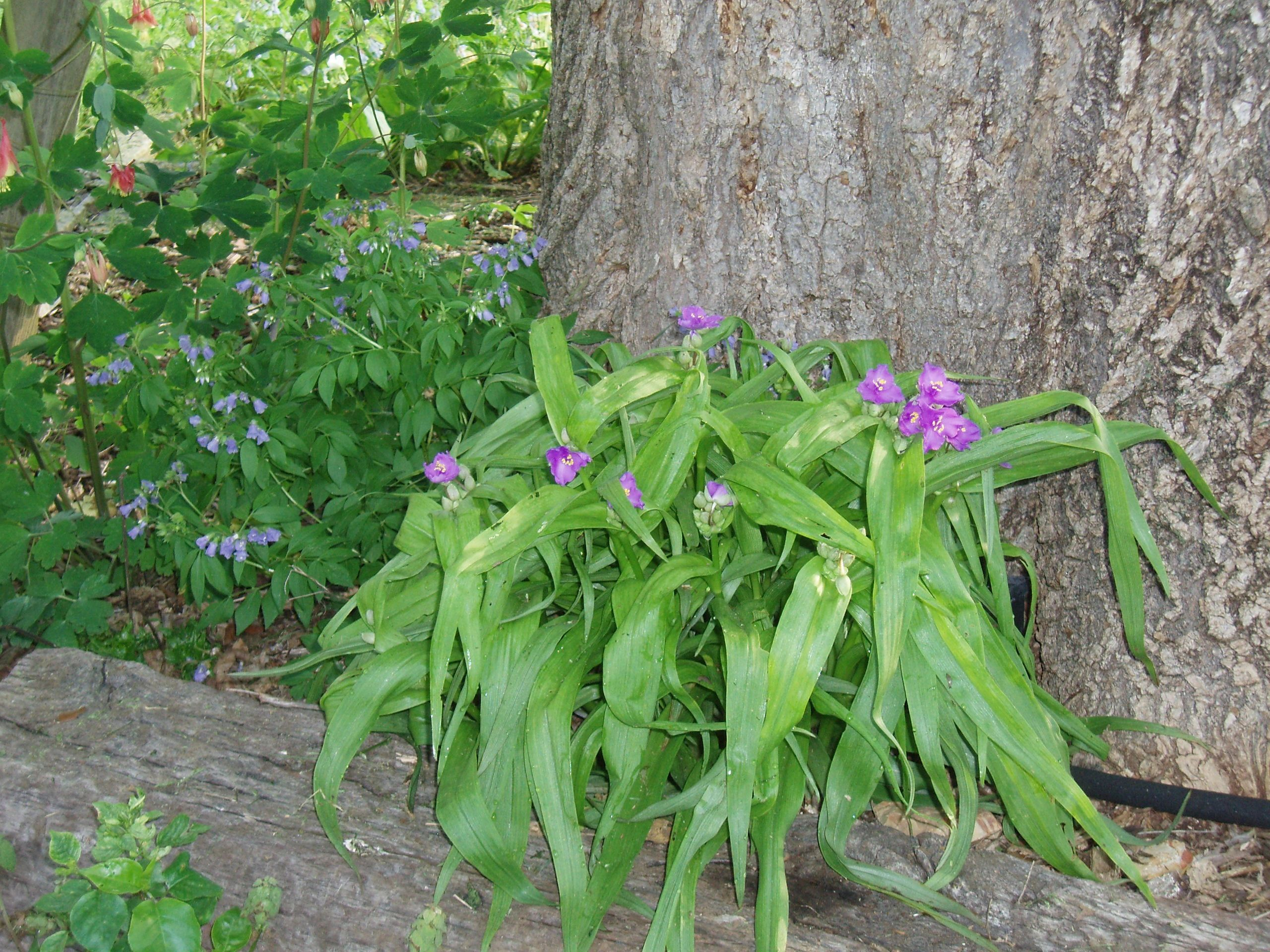"{""blocks"":[{""key"":""e51q4"",""text"":"" Tradescantia ernestina Ernest's Woodland Spiderwort - potted plants email john@easywildflowers.com"",""type"":""unstyled"",""depth"":0,""inlineStyleRanges"":[],""entityRanges"":[],""data"":{}}],""entityMap"":{}}"