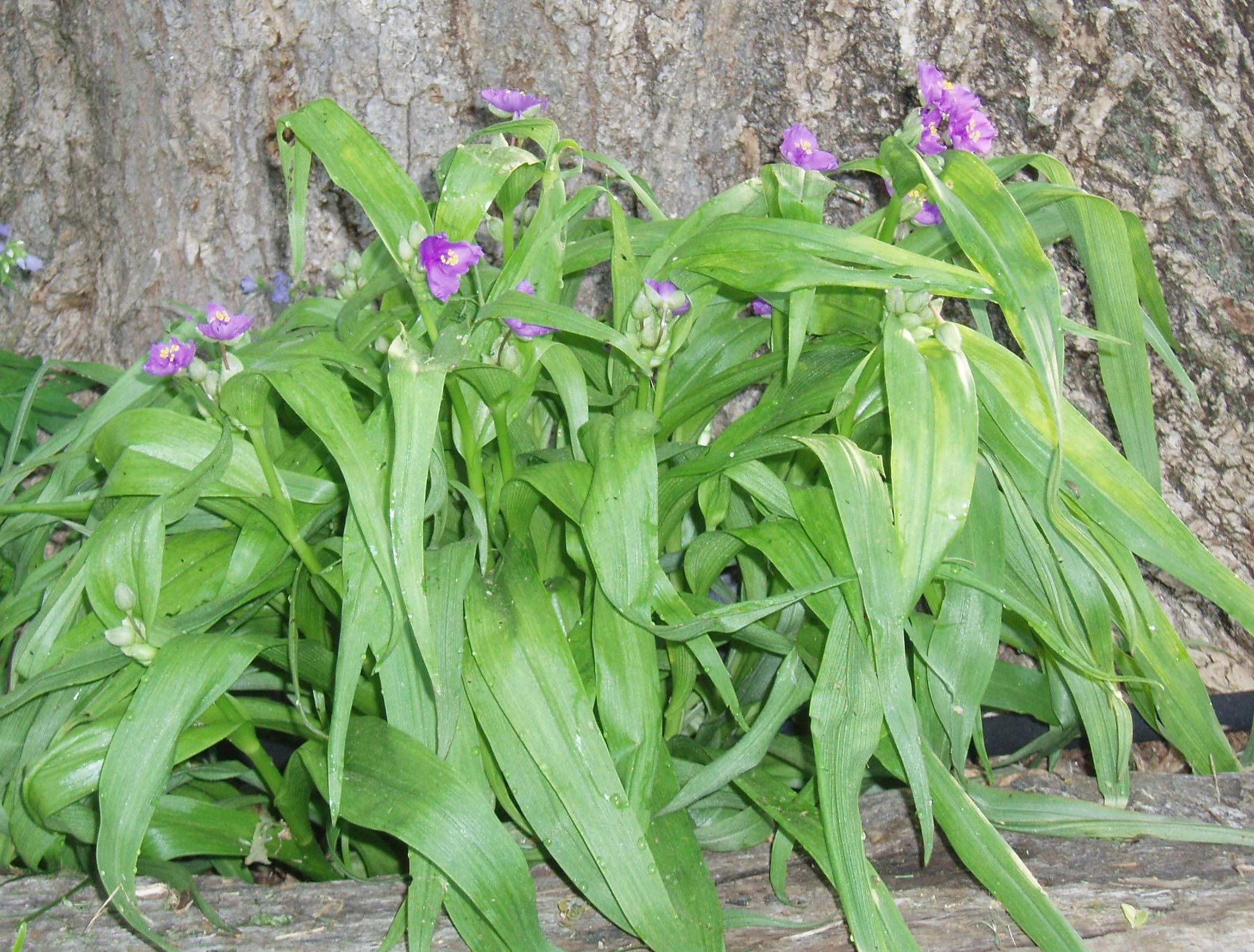 "{""blocks"":[{""key"":""c7buk"",""text"":"" Tradescantia ernestina Ernest's Woodland Spiderwort - potted plants email john@easywildflowers.com"",""type"":""unstyled"",""depth"":0,""inlineStyleRanges"":[],""entityRanges"":[],""data"":{}}],""entityMap"":{}}"