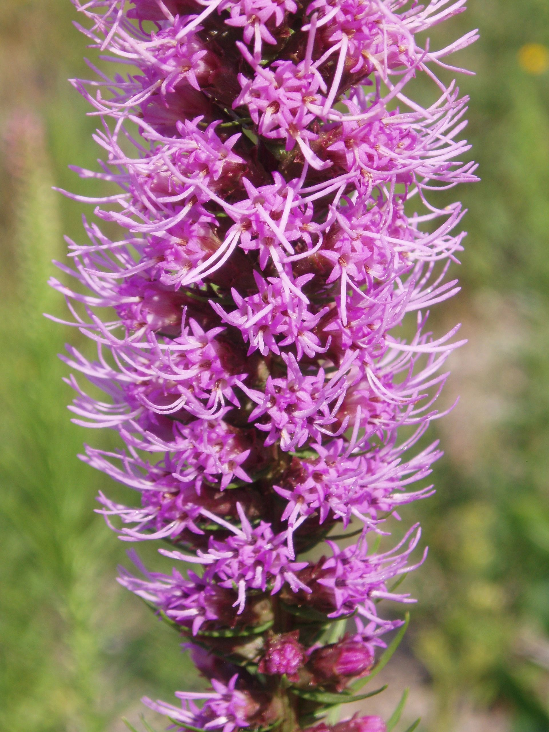 "{""blocks"":[{""key"":""cjfcg"",""text"":""Liatris spicata Dense Spiked Blazing Star Gayfeather -  potted plants email john@easywildflowers.com"",""type"":""unstyled"",""depth"":0,""inlineStyleRanges"":[],""entityRanges"":[],""data"":{}}],""entityMap"":{}}"