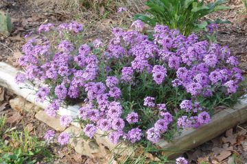 Glandularia canaden Rose Verbena canadensis Rose Vervain potted plants