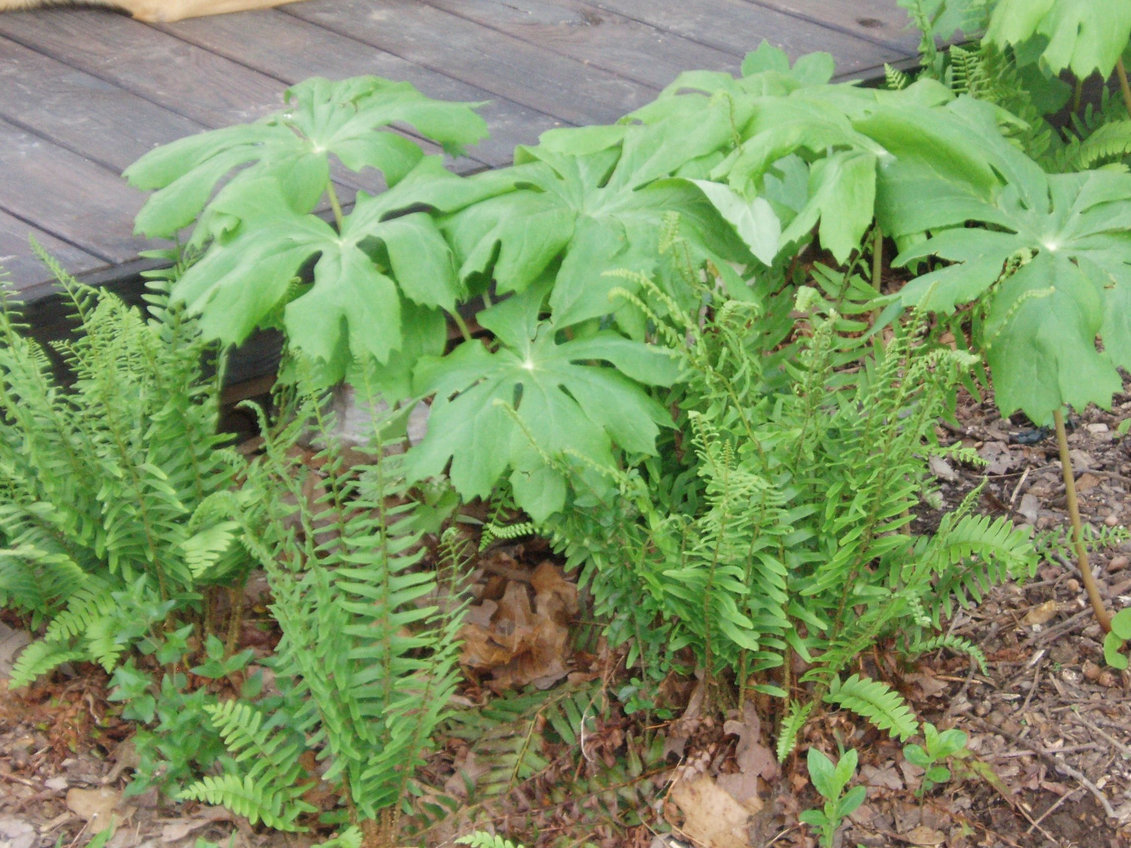"{""blocks"":[{""key"":""11vqc"",""text"":""Polystichum acrostichoides Christmas fern -  potted plants email john@easywildflowers.com  "",""type"":""unstyled"",""depth"":0,""inlineStyleRanges"":[],""entityRanges"":[],""data"":{}}],""entityMap"":{}}"