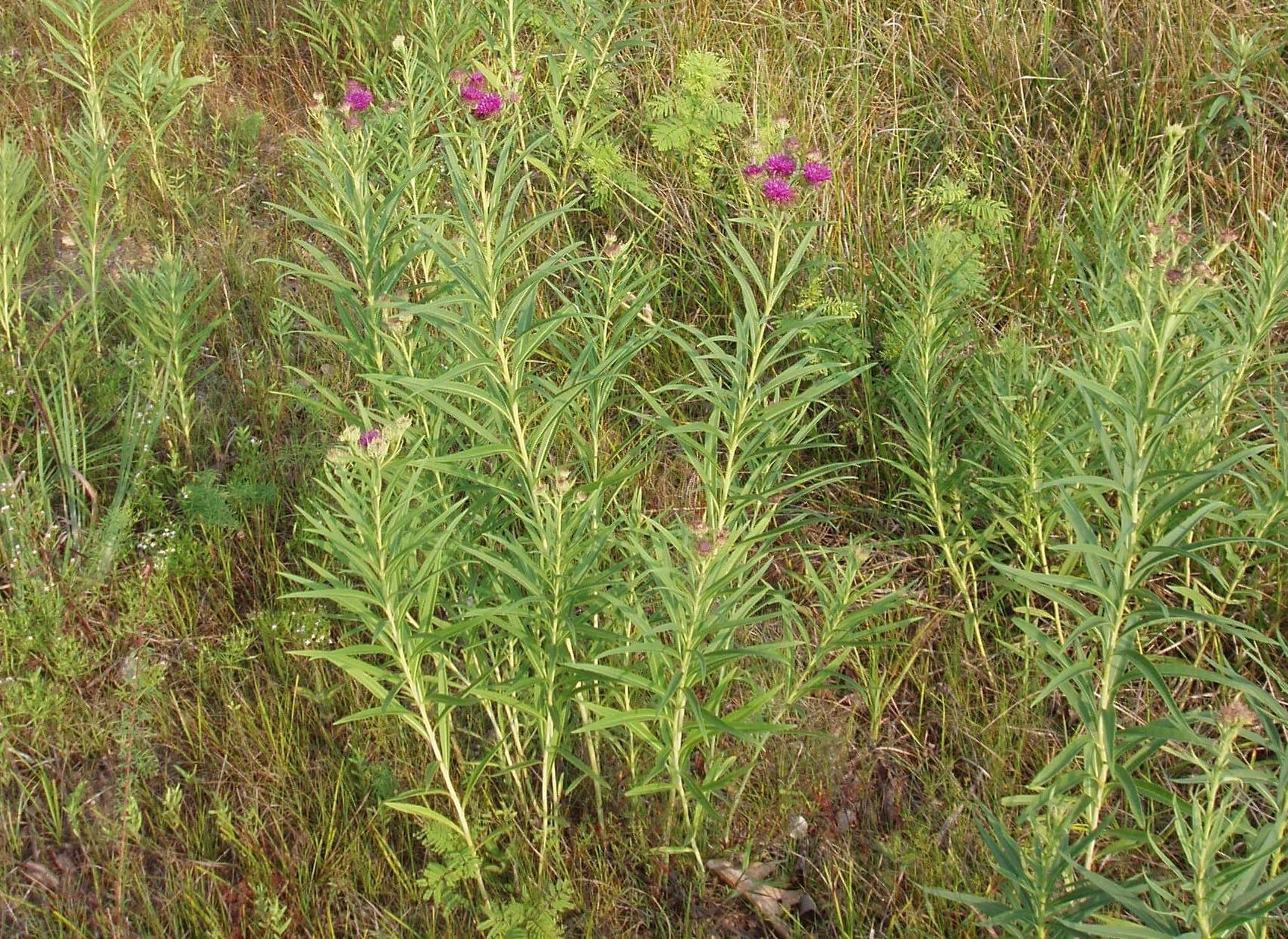 "{""blocks"":[{""key"":""cbnvb"",""text"":""Vernonia baldwinii Western Ironweed -  potted plants email john@easywildflowers.com "",""type"":""unstyled"",""depth"":0,""inlineStyleRanges"":[],""entityRanges"":[],""data"":{}}],""entityMap"":{}}"
