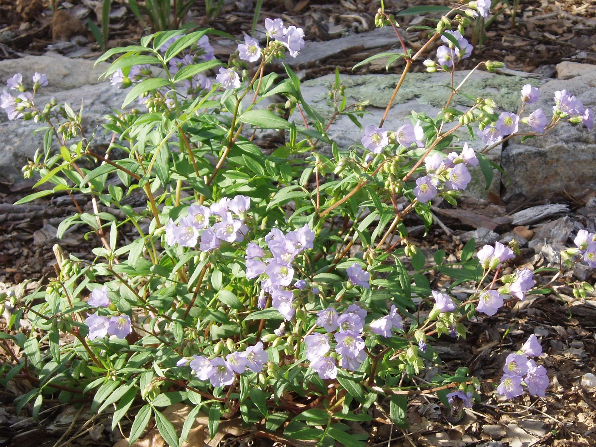 "{""blocks"":[{""key"":""afg9l"",""text"":""Polemonium reptans Jacob's Ladder - potted plants email john@easywildflowers.com "",""type"":""unstyled"",""depth"":0,""inlineStyleRanges"":[],""entityRanges"":[],""data"":{}}],""entityMap"":{}}"