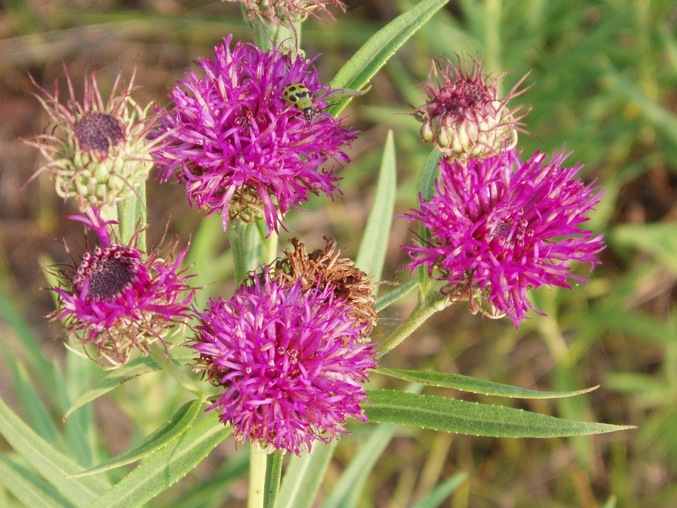 "{""blocks"":[{""key"":""dhhjg"",""text"":""Vernonia baldwinii Western Ironweed -  potted plants email john@easywildflowers.com "",""type"":""unstyled"",""depth"":0,""inlineStyleRanges"":[],""entityRanges"":[],""data"":{}}],""entityMap"":{}}"