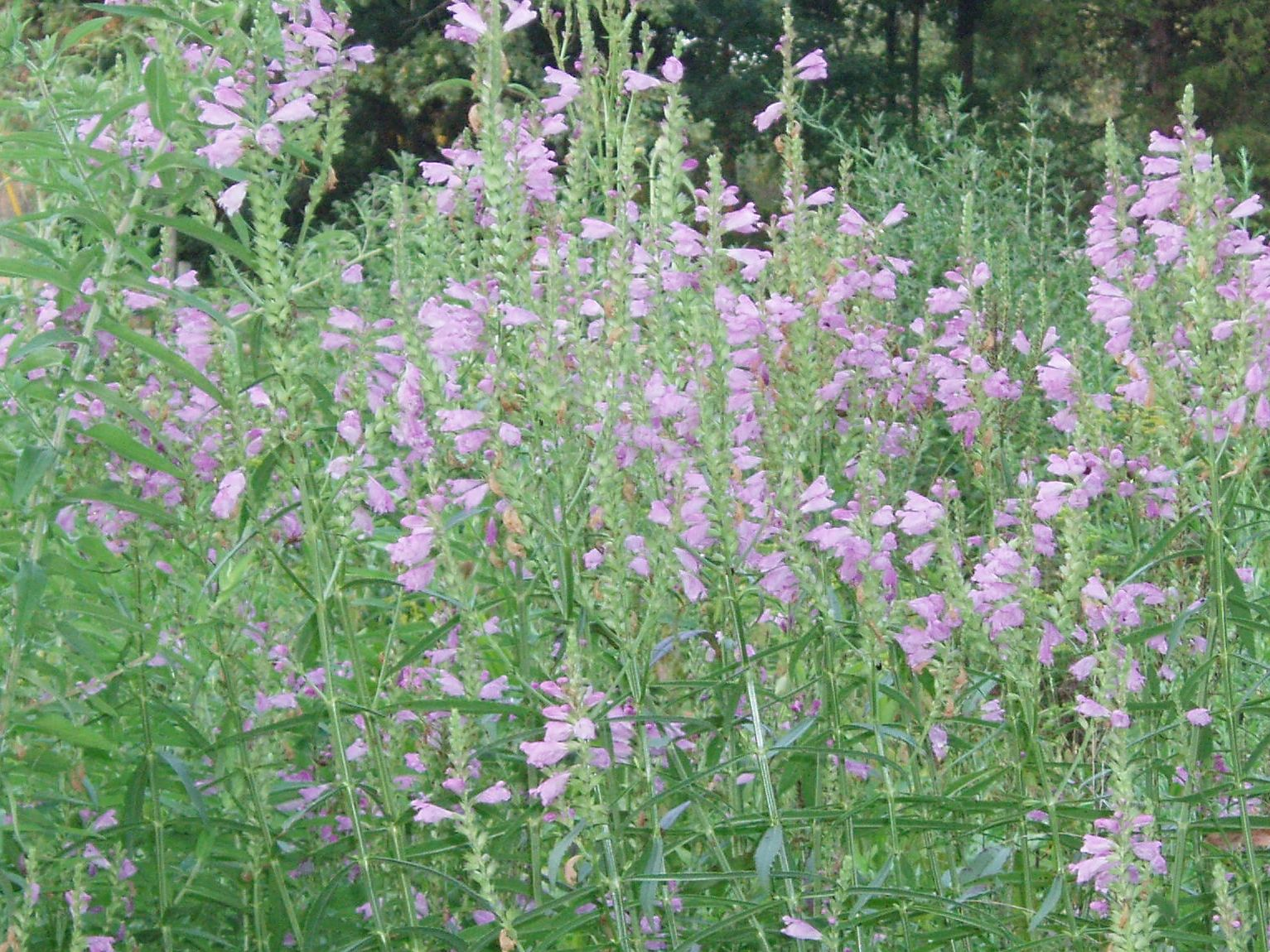 "{""blocks"":[{""key"":""35iab"",""text"":""Physostegia virginiana Obedient Plant False Dragonhead - potted plants email john@easywildflowers.com"",""type"":""unstyled"",""depth"":0,""inlineStyleRanges"":[],""entityRanges"":[],""data"":{}}],""entityMap"":{}}"