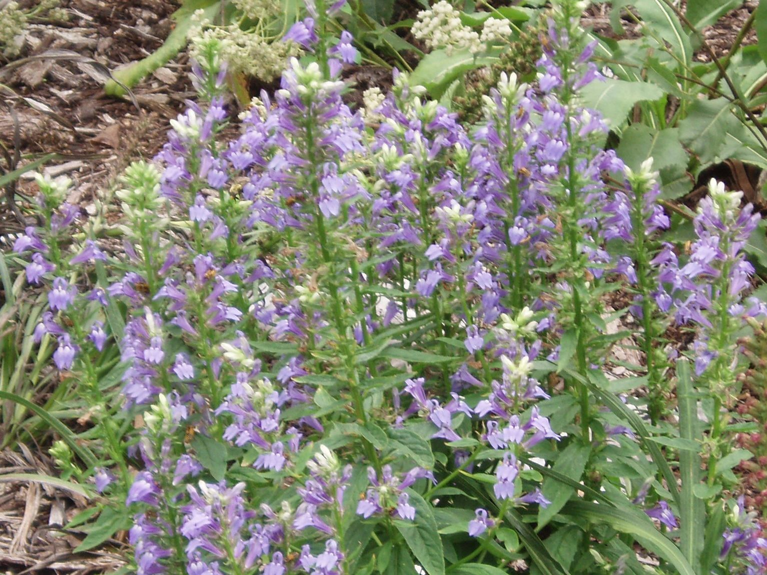 "{""blocks"":[{""key"":""528po"",""text"":""Lobelia siphilitica Great Blue Lobelia Blue Cardinal Flower - potted plants email john@easywildflowers.com"",""type"":""unstyled"",""depth"":0,""inlineStyleRanges"":[],""entityRanges"":[],""data"":{}}],""entityMap"":{}}"