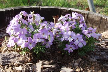 Viola pedata Bird's-foot violet native wildflower butterfly host potted plant