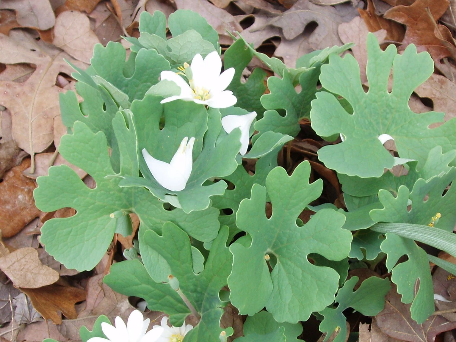 "{""blocks"":[{""key"":""e9pq8"",""text"":""Sanguinaria canadensis Bloodroot -  potted plants email john@easywildflowers.com "",""type"":""unstyled"",""depth"":0,""inlineStyleRanges"":[],""entityRanges"":[],""data"":{}}],""entityMap"":{}}"