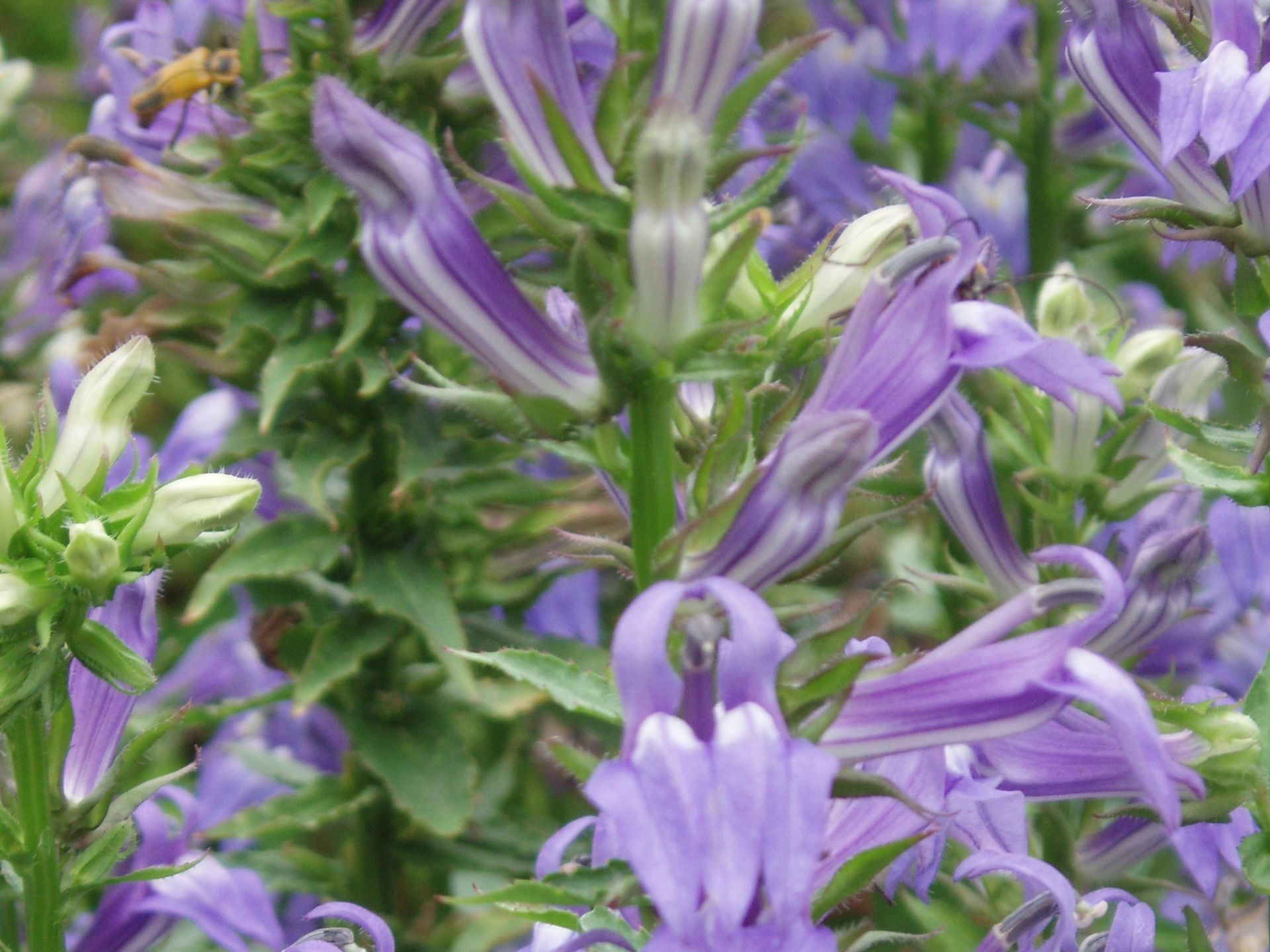 "{""blocks"":[{""key"":""4cdt1"",""text"":""Lobelia siphilitica Great Blue Lobelia Blue Cardinal Flower - potted plants email john@easywildflowers.com"",""type"":""unstyled"",""depth"":0,""inlineStyleRanges"":[],""entityRanges"":[],""data"":{}}],""entityMap"":{}}"