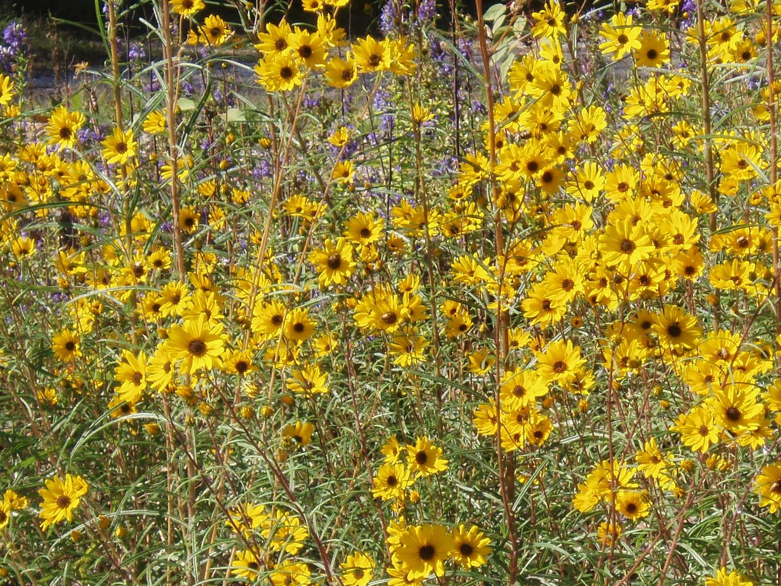 "{""blocks"":[{""key"":""4k6fj"",""text"":""Helianthus angustifolius Swamp Sunflower -  potted plants email john@easywildflowers.com "",""type"":""unstyled"",""depth"":0,""inlineStyleRanges"":[],""entityRanges"":[],""data"":{}}],""entityMap"":{}}"