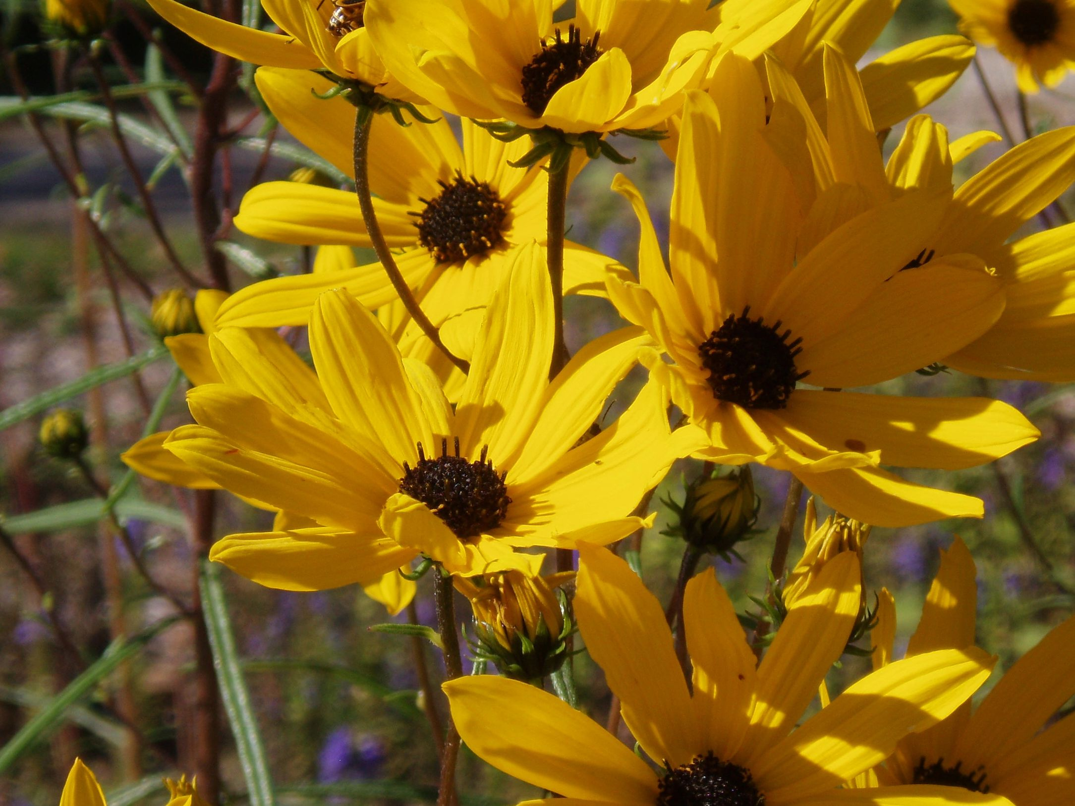 "{""blocks"":[{""key"":""99o91"",""text"":"" Helianthus angustifolius Swamp Sunflower -  potted plants john@easywildflowers.com  "",""type"":""unstyled"",""depth"":0,""inlineStyleRanges"":[],""entityRanges"":[],""data"":{}}],""entityMap"":{}}"