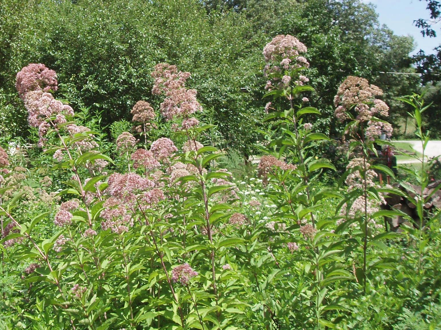 "{""blocks"":[{""key"":""bdi77"",""text"":""Eutrochium maculatum Eupatorium maculatum Spotted Joe-Pye Weed  - potted plants email john@easywildflowers.com \t"",""type"":""unstyled"",""depth"":0,""inlineStyleRanges"":[],""entityRanges"":[],""data"":{}}],""entityMap"":{}}"