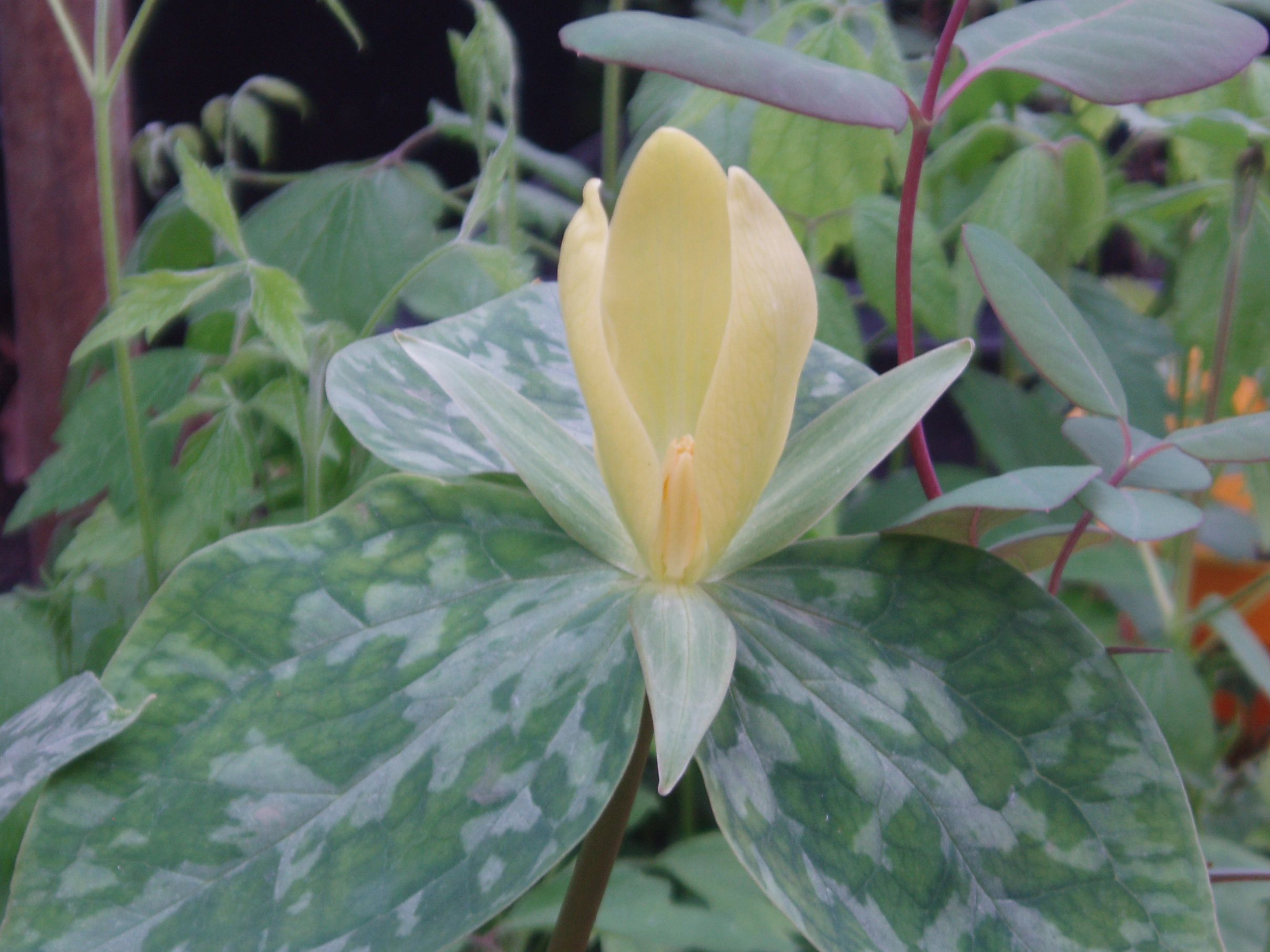 "{""blocks"":[{""key"":""21h5l"",""text"":"" Trillium luteum Yellow Trillium yellow wakerobin - potted plants email john@easywildflowers.com "",""type"":""unstyled"",""depth"":0,""inlineStyleRanges"":[],""entityRanges"":[],""data"":{}}],""entityMap"":{}}"