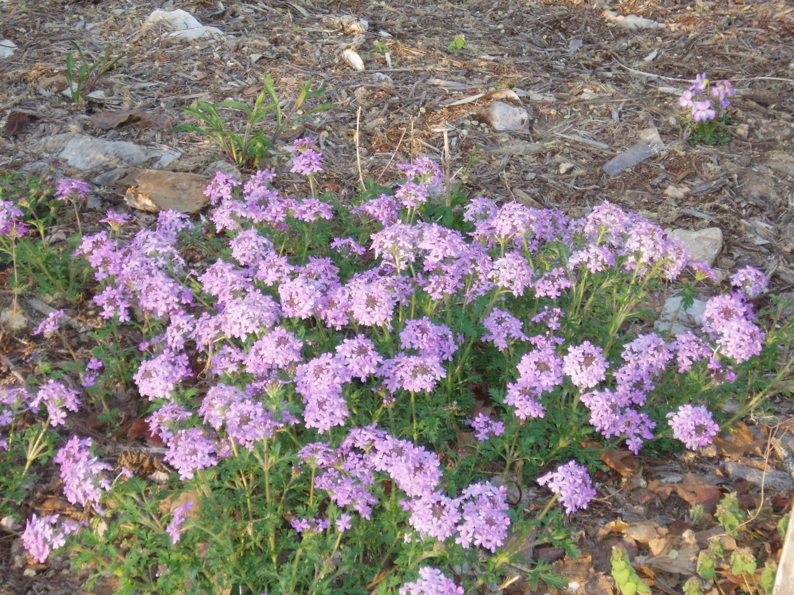 "{""blocks"":[{""key"":""ejd8u"",""text"":"" Glandularia canaden (Verbena canadensis) Rose Vervain - potted plants  john@easywildflowers.com "",""type"":""unstyled"",""depth"":0,""inlineStyleRanges"":[],""entityRanges"":[],""data"":{}}],""entityMap"":{}}"