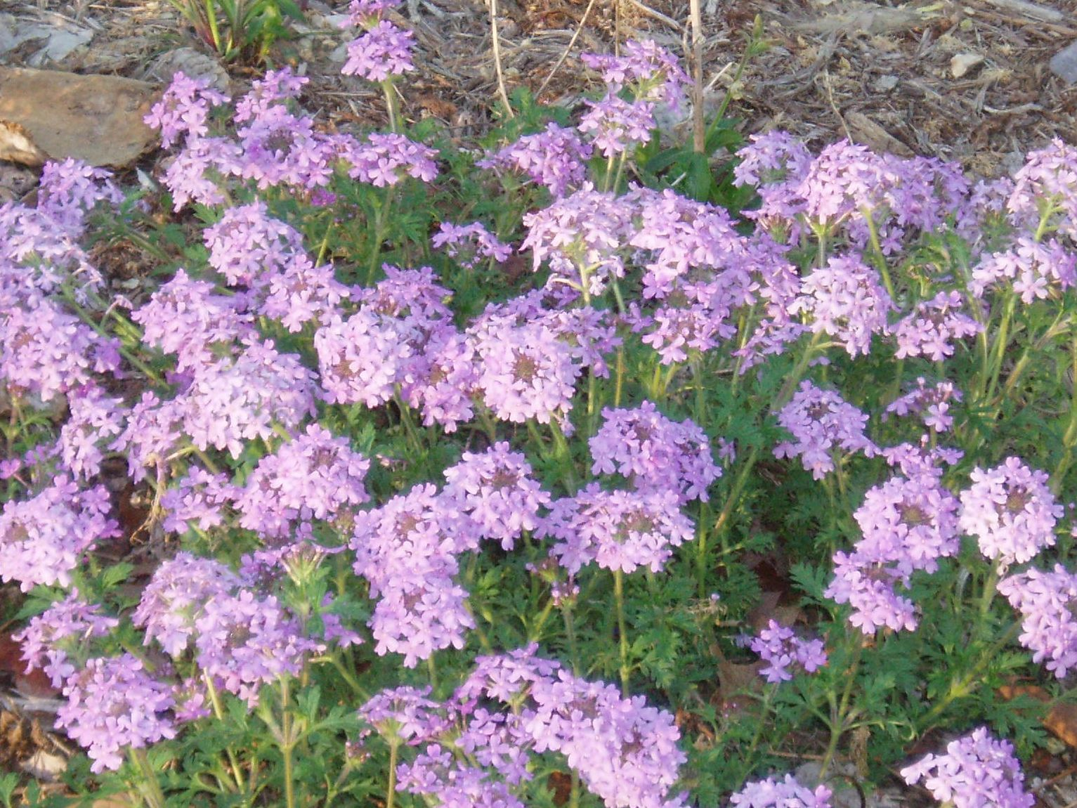 "{""blocks"":[{""key"":""ejd8u"",""text"":""Glandularia canaden Verbena canadensis Rose Vervain - potted plants email john@easywildflowers.com"",""type"":""unstyled"",""depth"":0,""inlineStyleRanges"":[],""entityRanges"":[],""data"":{}}],""entityMap"":{}}"