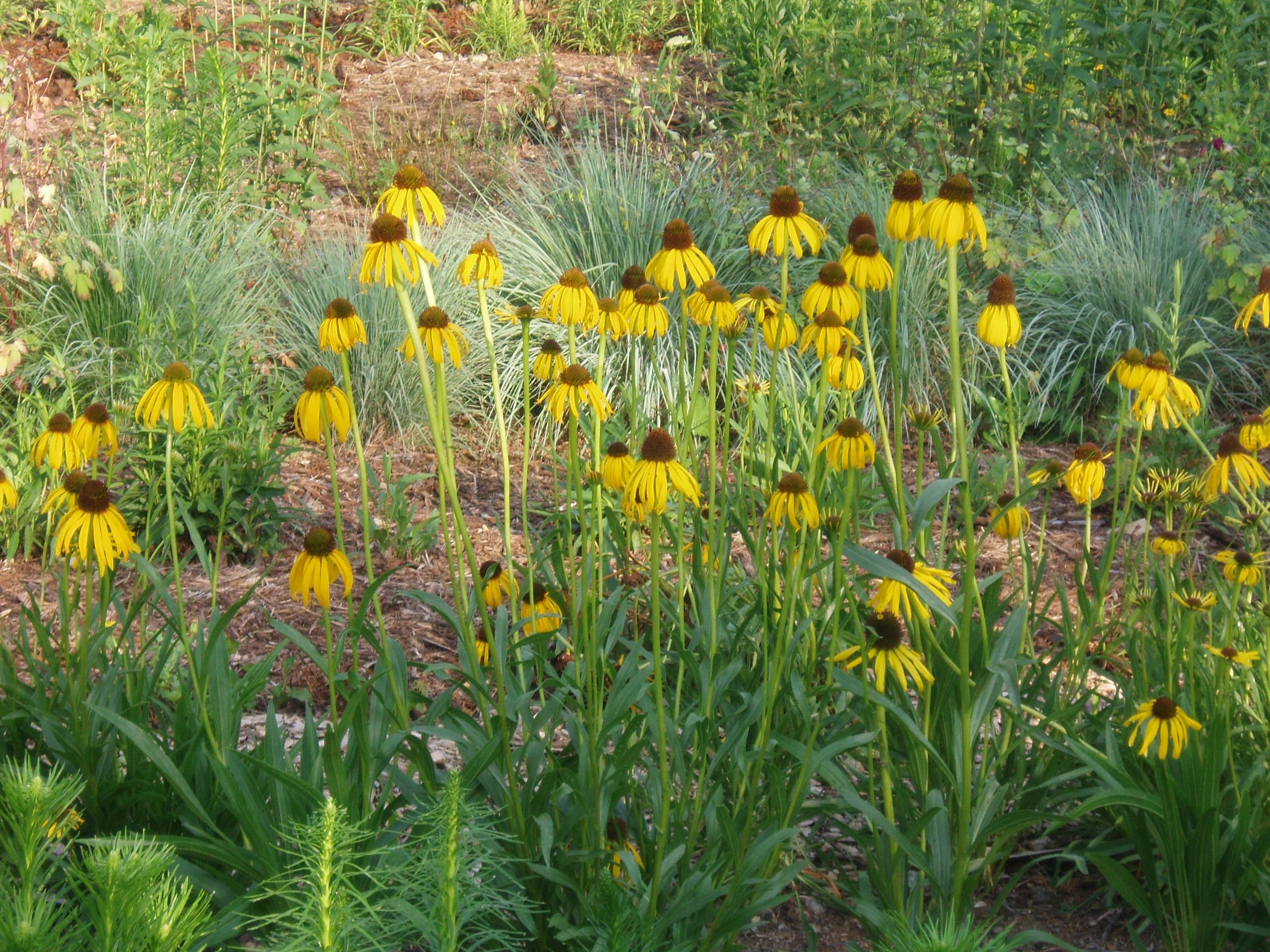 "{""blocks"":[{""key"":""1h6p8"",""text"":""photo Echinacea paradoxa Yellow Coneflower -  potted plants email john@easywildflowers.com \t"",""type"":""unstyled"",""depth"":0,""inlineStyleRanges"":[],""entityRanges"":[],""data"":{}}],""entityMap"":{}}"