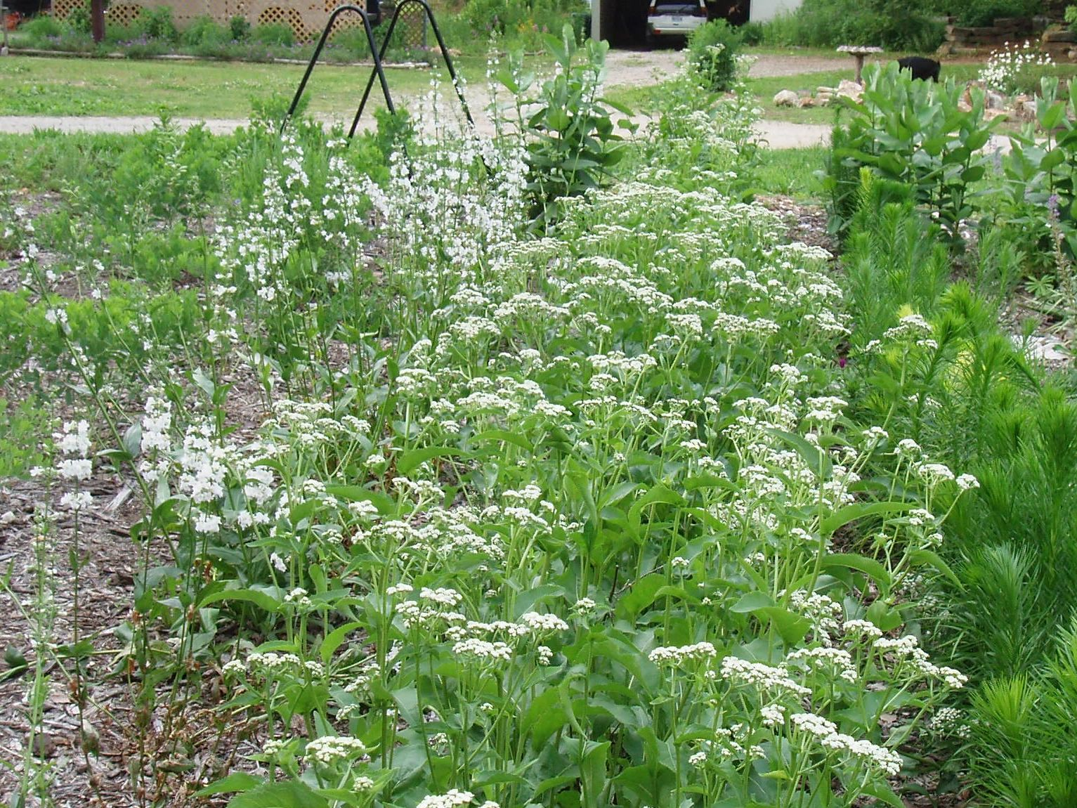 "{""blocks"":[{""key"":""fcnpu"",""text"":""Parthenium integrifolium Wild Quinine - potted plants email john@easywildflowers.com "",""type"":""unstyled"",""depth"":0,""inlineStyleRanges"":[],""entityRanges"":[],""data"":{}}],""entityMap"":{}}"