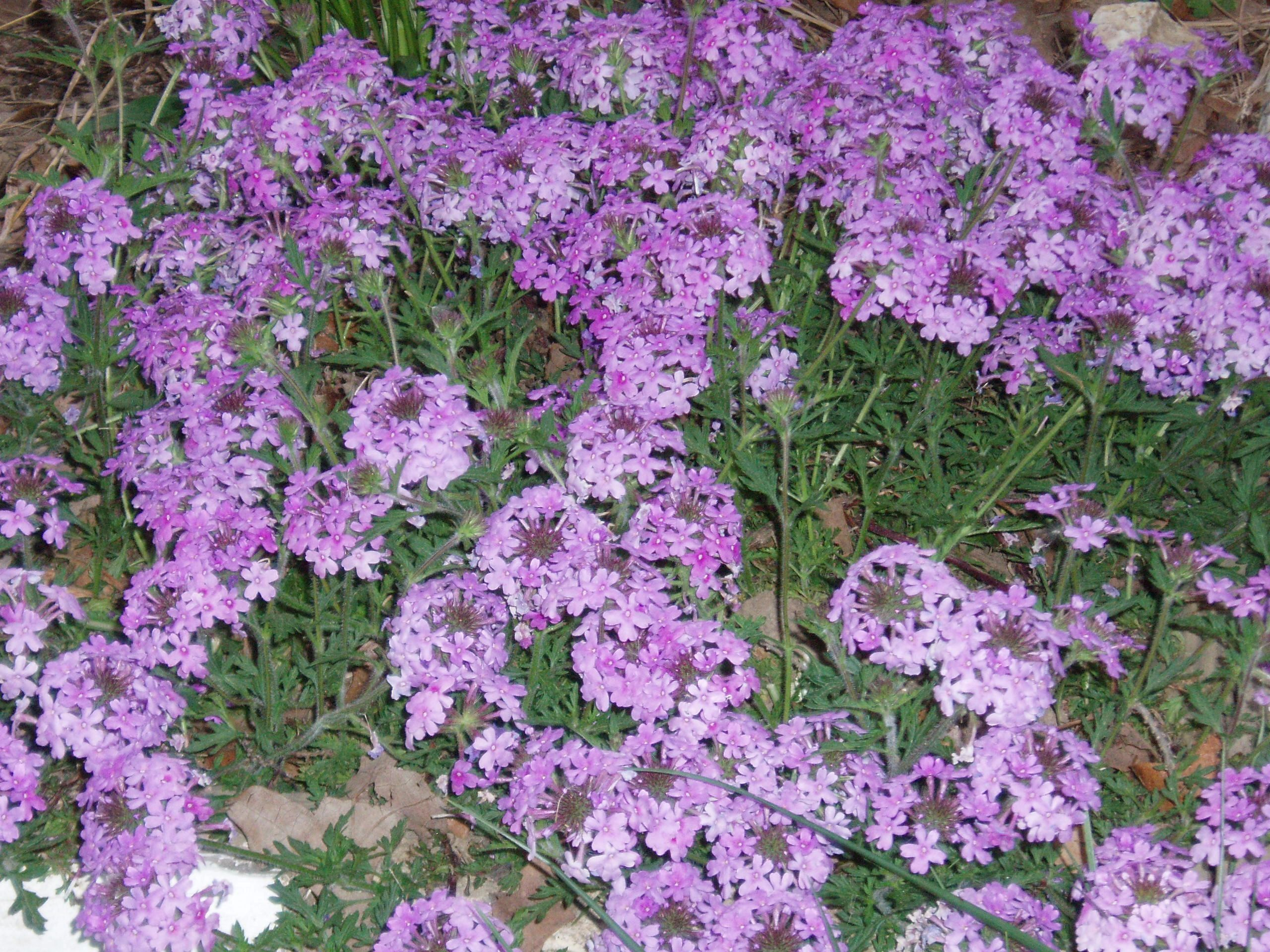 "{""blocks"":[{""key"":""9h8cm"",""text"":"" Glandularia canaden (Verbena canadensis) Rose Vervain - potted plants  john@easywildflowers.com "",""type"":""unstyled"",""depth"":0,""inlineStyleRanges"":[],""entityRanges"":[],""data"":{}}],""entityMap"":{}}"