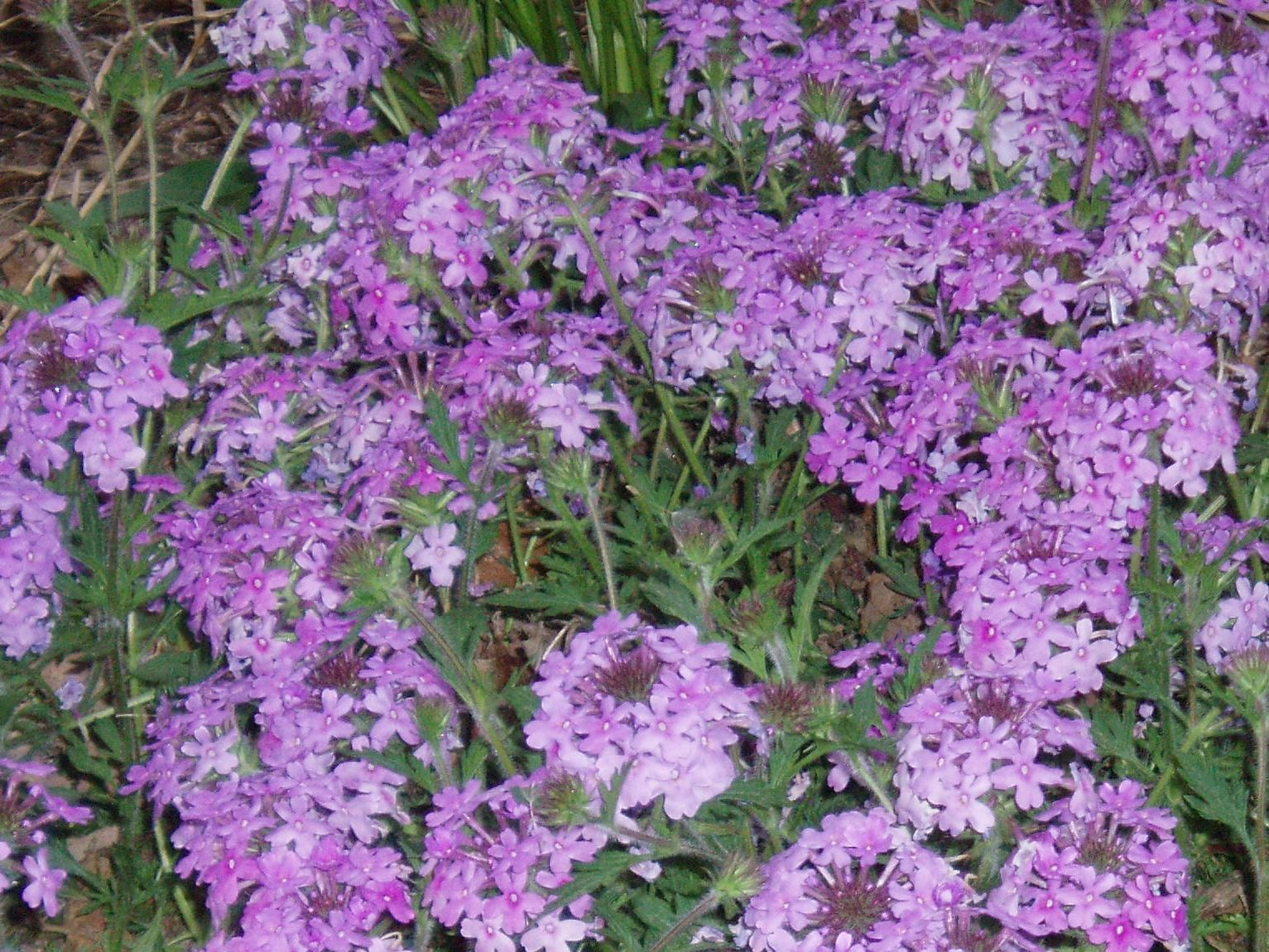 "{""blocks"":[{""key"":""9h8cm"",""text"":""Glandularia canaden Verbena canadensis Rose Vervain - potted plants email john@easywildflowers.com"",""type"":""unstyled"",""depth"":0,""inlineStyleRanges"":[],""entityRanges"":[],""data"":{}}],""entityMap"":{}}"