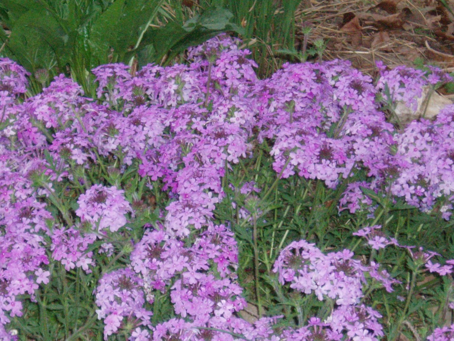 "{""blocks"":[{""key"":""5alu0"",""text"":""Glandularia canaden Verbena canadensis Rose Vervain - potted plants email john@easywildflowers.com"",""type"":""unstyled"",""depth"":0,""inlineStyleRanges"":[],""entityRanges"":[],""data"":{}}],""entityMap"":{}}"