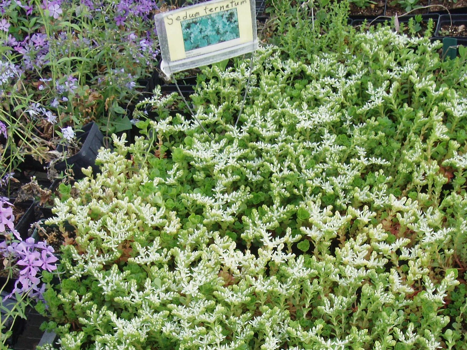 "{""blocks"":[{""key"":""2mmtb"",""text"":"" Sedum ternatum Woodland Stonecrop, widow's cross - potted plants email john@easywildflowers.com"",""type"":""unstyled"",""depth"":0,""inlineStyleRanges"":[],""entityRanges"":[],""data"":{}}],""entityMap"":{}}"