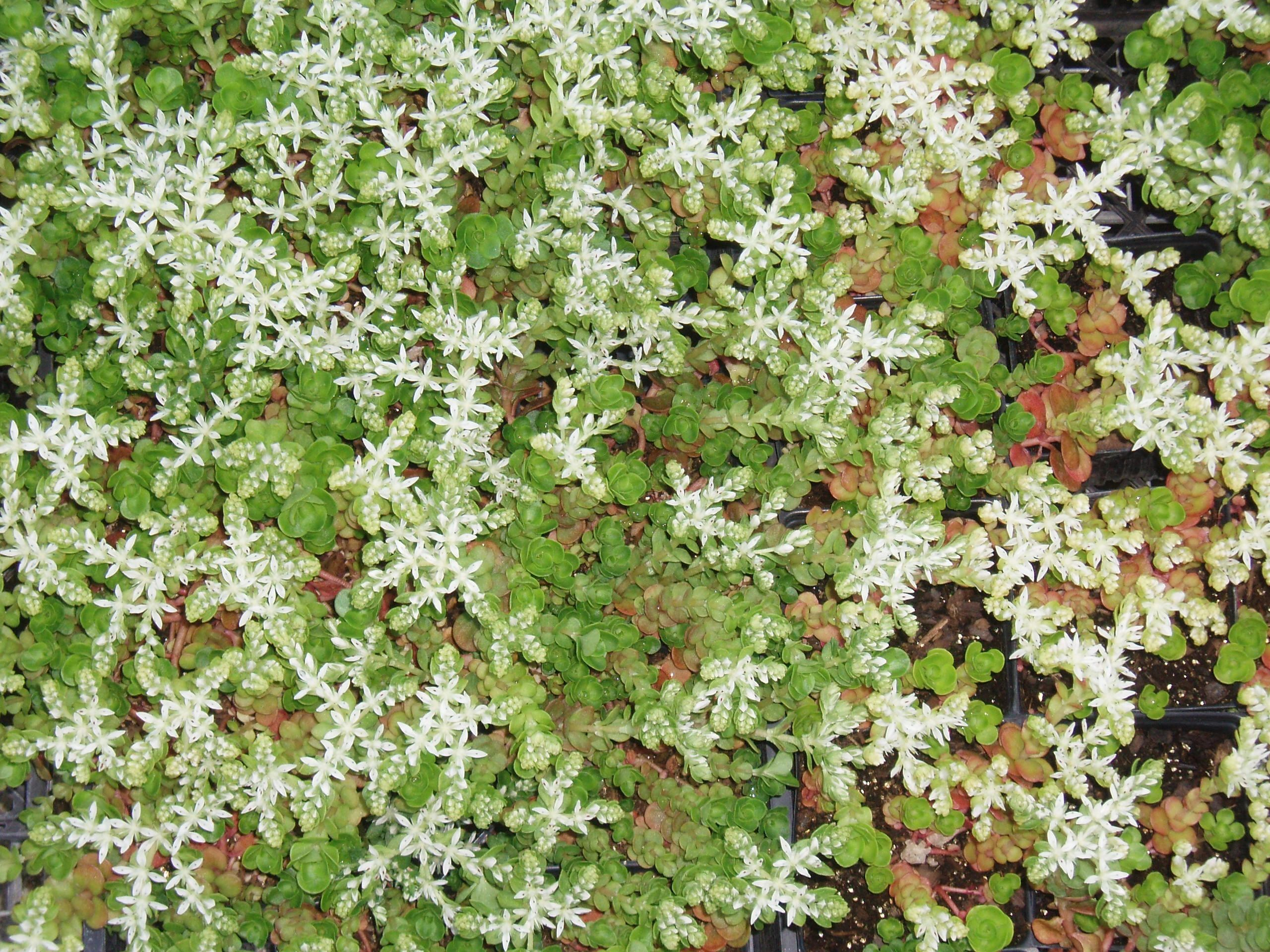 "{""blocks"":[{""key"":""4841i"",""text"":"" Sedum ternatum Woodland Stonecrop, widow's cross - potted plants email john@easywildflowers.com"",""type"":""unstyled"",""depth"":0,""inlineStyleRanges"":[],""entityRanges"":[],""data"":{}}],""entityMap"":{}}"