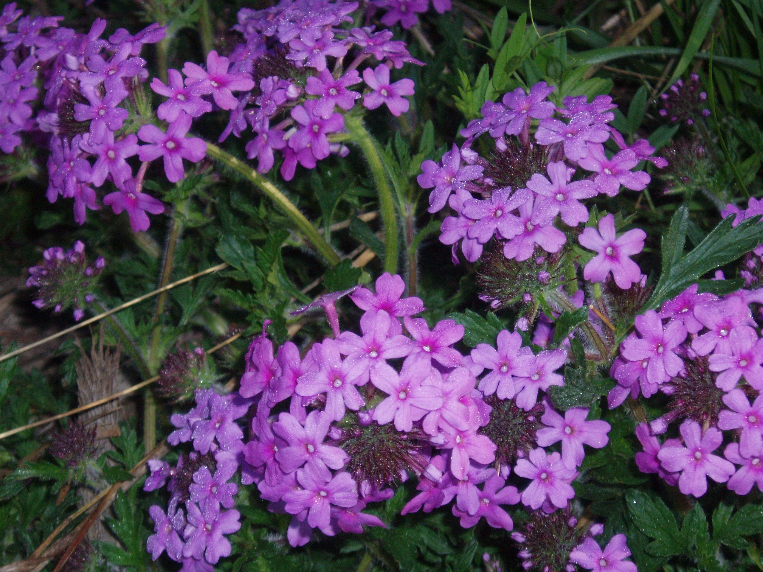 "{""blocks"":[{""key"":""6ahpr"",""text"":""Glandularia canaden (Verbena canadensis) Rose Vervain - potted plants  john@easywildflowers.com"",""type"":""unstyled"",""depth"":0,""inlineStyleRanges"":[],""entityRanges"":[],""data"":{}}],""entityMap"":{}}"