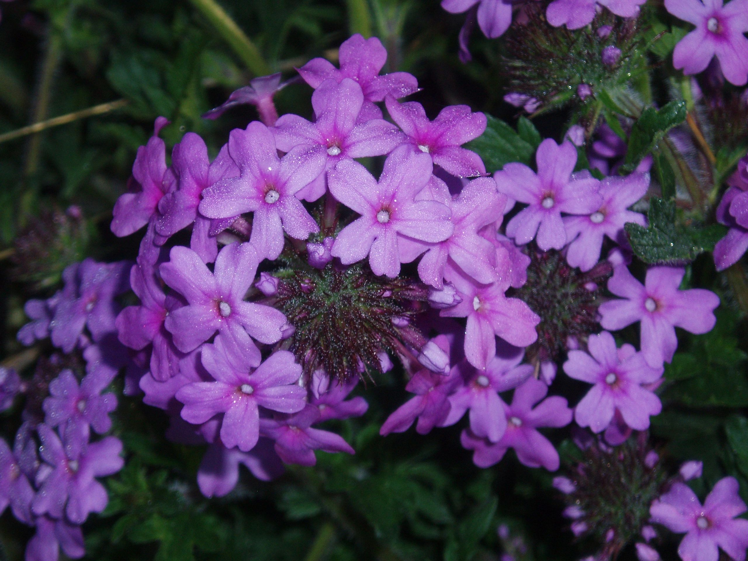 "{""blocks"":[{""key"":""1bhra"",""text"":"" Glandularia canaden (Verbena canadensis) Rose Vervain - potted plants  john@easywildflowers.com "",""type"":""unstyled"",""depth"":0,""inlineStyleRanges"":[],""entityRanges"":[],""data"":{}}],""entityMap"":{}}"