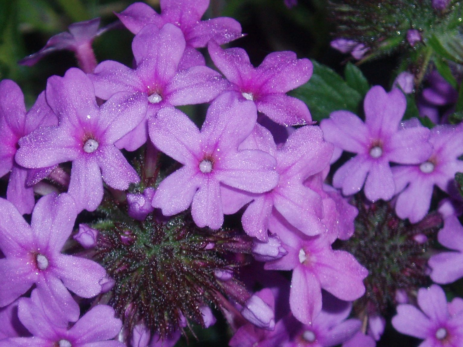 "{""blocks"":[{""key"":""1bhra"",""text"":""Glandularia canaden Verbena canadensis Rose Vervain - potted plants email john@easywildflowers.com"",""type"":""unstyled"",""depth"":0,""inlineStyleRanges"":[],""entityRanges"":[],""data"":{}}],""entityMap"":{}}"