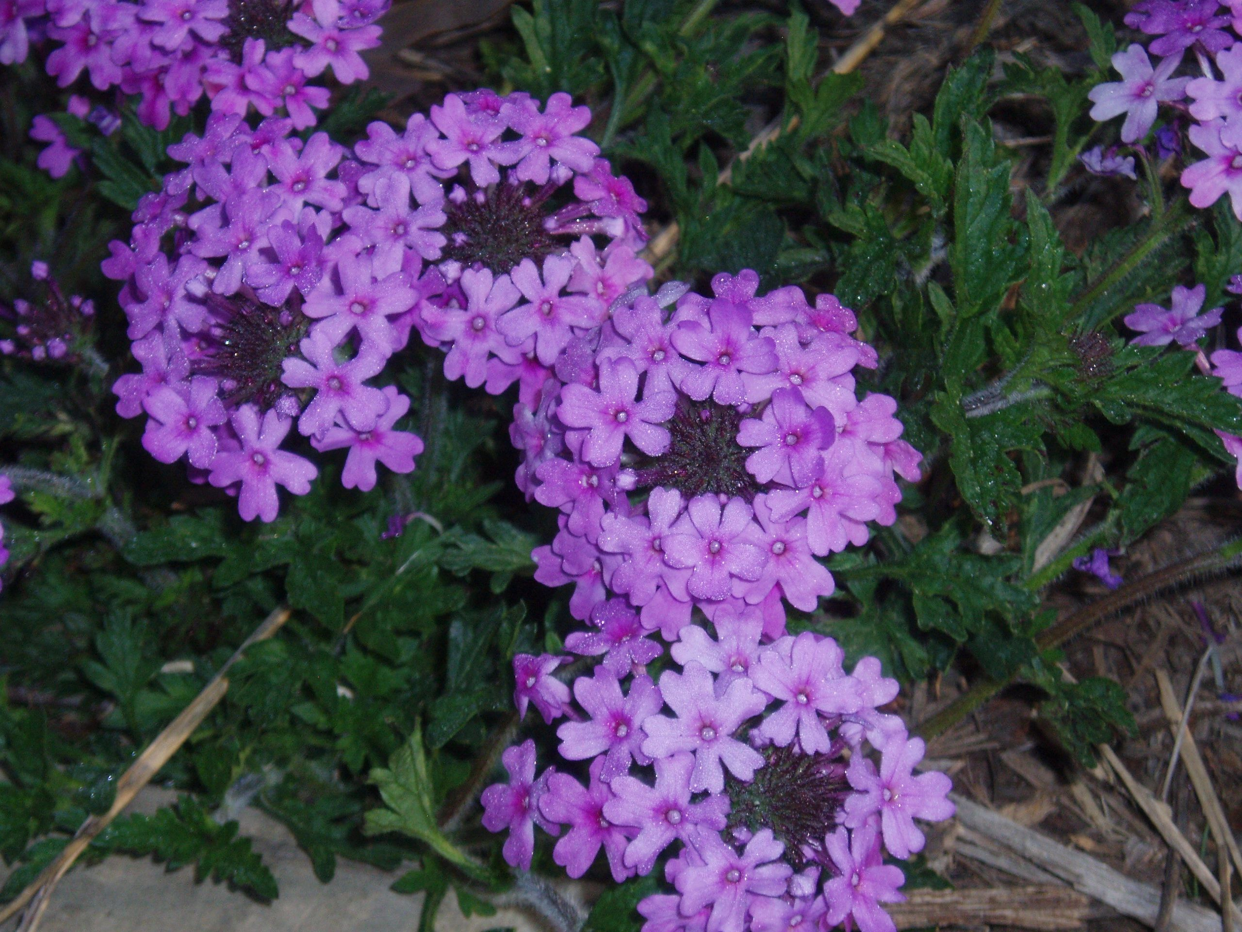 "{""blocks"":[{""key"":""3ii4c"",""text"":"" Glandularia canaden (Verbena canadensis) Rose Vervain - potted plants  john@easywildflowers.com "",""type"":""unstyled"",""depth"":0,""inlineStyleRanges"":[],""entityRanges"":[],""data"":{}}],""entityMap"":{}}"