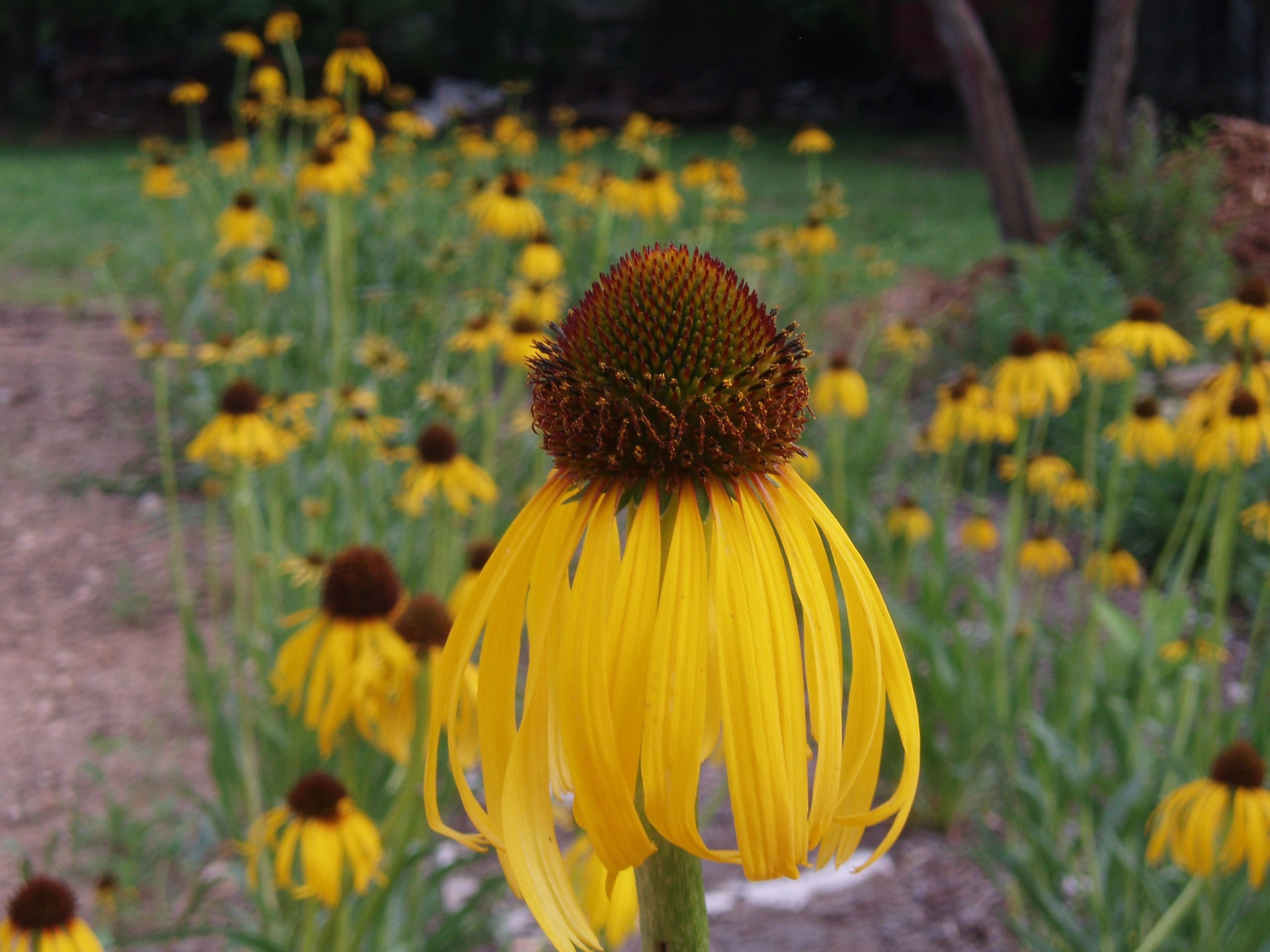 "{""blocks"":[{""key"":""bahqu"",""text"":""photo Echinacea paradoxa Yellow Coneflower -  potted plants email john@easywildflowers.com \t"",""type"":""unstyled"",""depth"":0,""inlineStyleRanges"":[],""entityRanges"":[],""data"":{}}],""entityMap"":{}}"