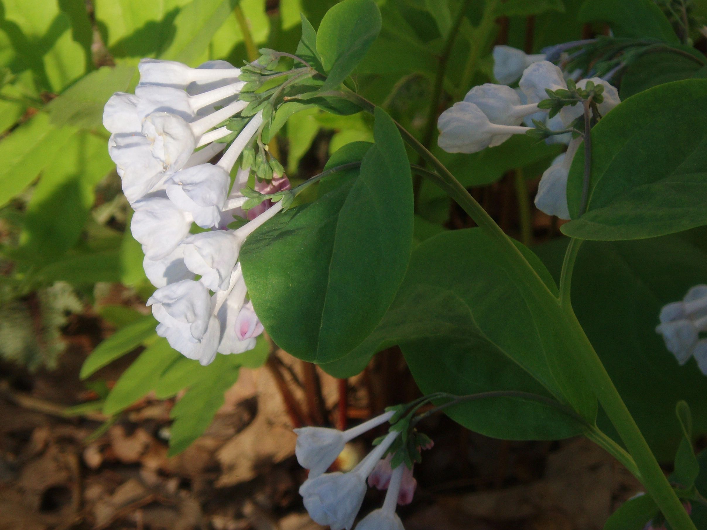 "{""blocks"":[{""key"":""60dbg"",""text"":"" Mertensia virginica Virginia Bluebells - potted plants email john@easywildflowers.com"",""type"":""unstyled"",""depth"":0,""inlineStyleRanges"":[],""entityRanges"":[],""data"":{}}],""entityMap"":{}}"