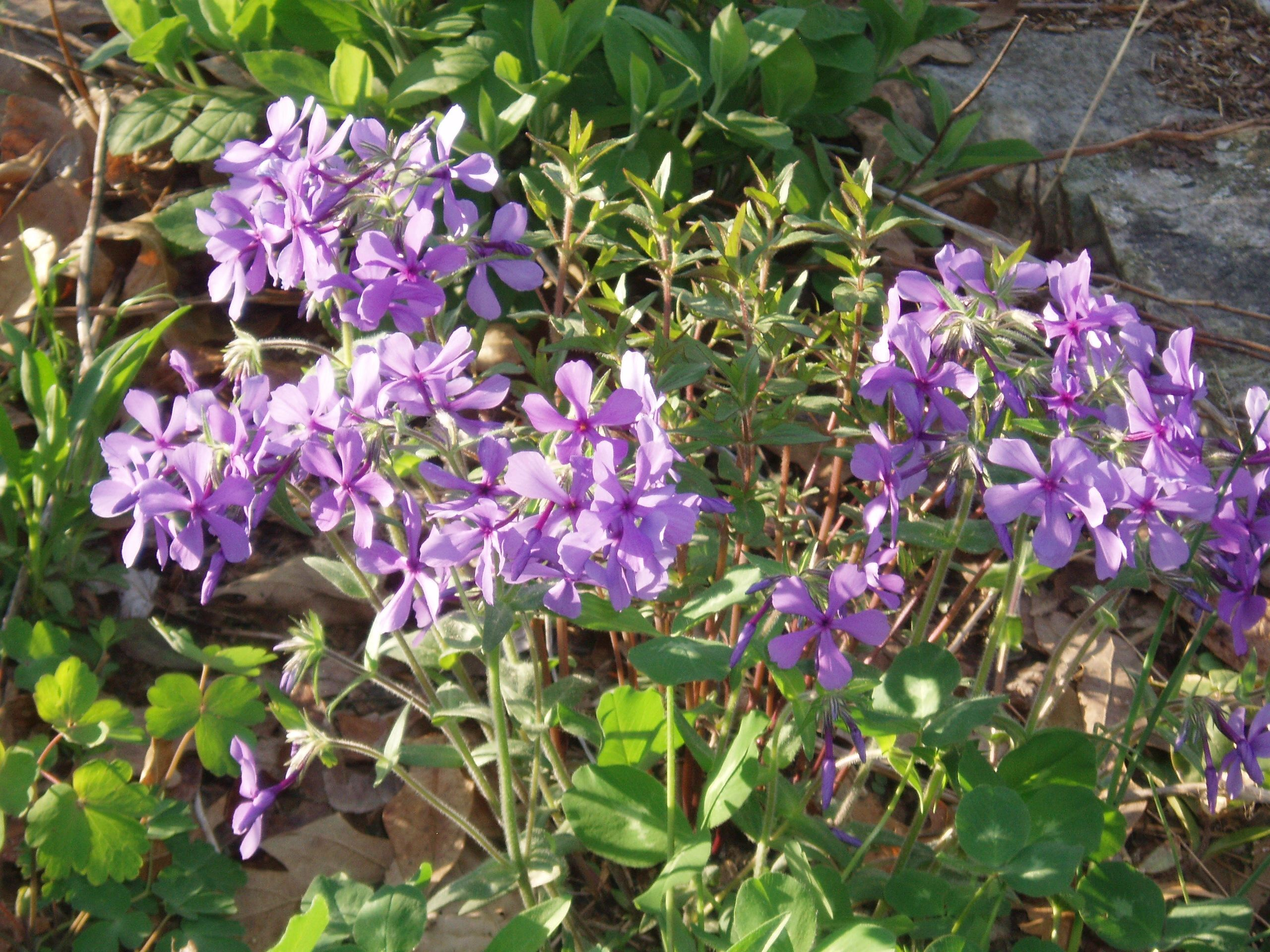 "{""blocks"":[{""key"":""4grur"",""text"":""Phlox divaricata Lapham's Woodland Phlox, Wild Sweet William - potted plants email john@easywildflowers.com  "",""type"":""unstyled"",""depth"":0,""inlineStyleRanges"":[],""entityRanges"":[],""data"":{}}],""entityMap"":{}}"