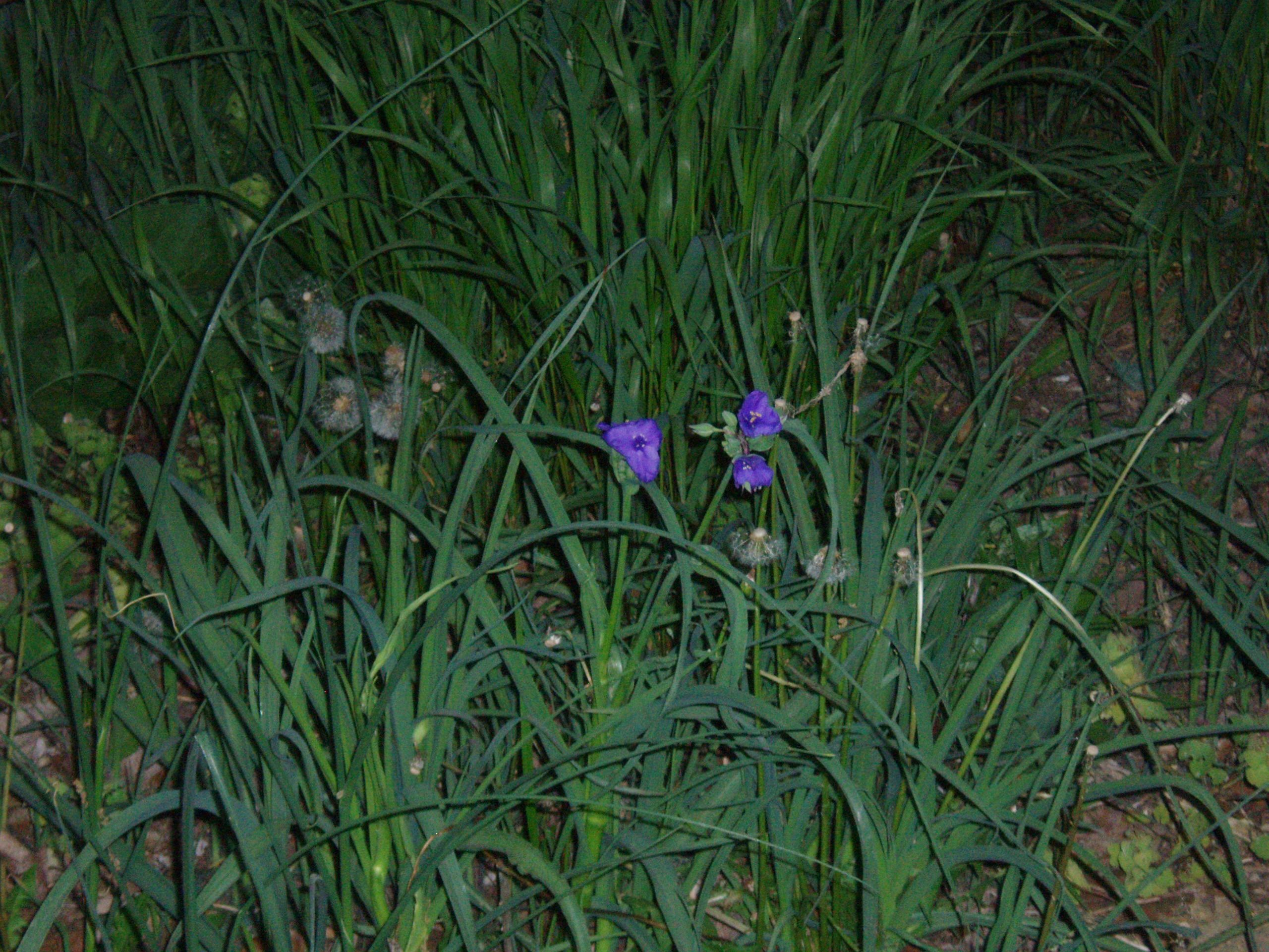 "{""blocks"":[{""key"":""e9g54"",""text"":"" Tradescantia ohiensis Ohio Spiderwort - potted plants email john@easywildflowers.com   "",""type"":""unstyled"",""depth"":0,""inlineStyleRanges"":[],""entityRanges"":[],""data"":{}}],""entityMap"":{}}"