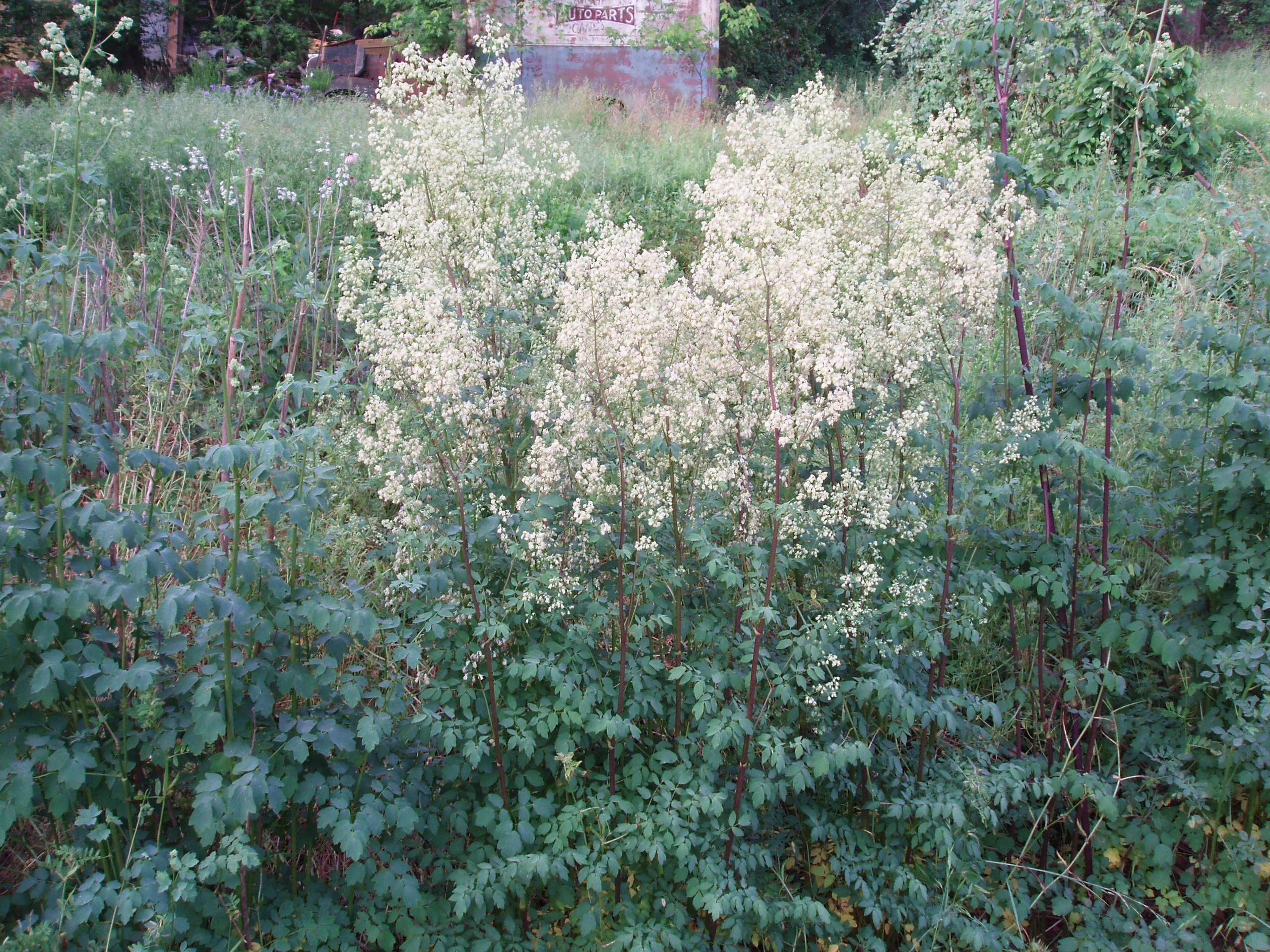 "{""blocks"":[{""key"":""7qmam"",""text"":""Photo Thalictrum dasycarpum Purple Meadow Rue - potted plants email john@easywildflowers.com"",""type"":""unstyled"",""depth"":0,""inlineStyleRanges"":[],""entityRanges"":[],""data"":{}}],""entityMap"":{}}"