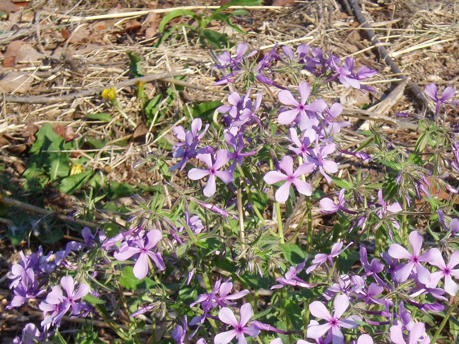 "{""blocks"":[{""key"":""aahif"",""text"":""Phlox divaricata Lapham's Woodland Phlox, Wild Sweet William - potted plants email john@easywildflowers.com  "",""type"":""unstyled"",""depth"":0,""inlineStyleRanges"":[],""entityRanges"":[],""data"":{}}],""entityMap"":{}}"