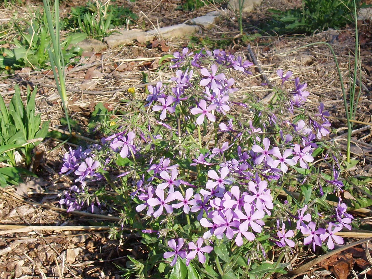 "{""blocks"":[{""key"":""1gdo4"",""text"":""Phlox divaricata Lapham's Woodland Phlox, Wild Sweet William - potted plants email john@easywildflowers.com  "",""type"":""unstyled"",""depth"":0,""inlineStyleRanges"":[],""entityRanges"":[],""data"":{}}],""entityMap"":{}}"
