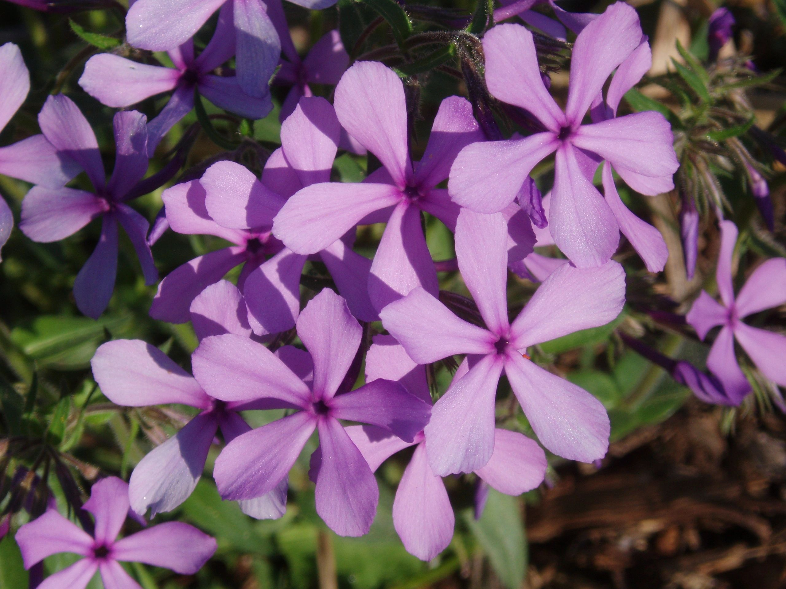 "{""blocks"":[{""key"":""66i4"",""text"":""Phlox divaricata Lapham's Woodland Phlox, Wild Sweet William - potted plants email john@easywildflowers.com"",""type"":""unstyled"",""depth"":0,""inlineStyleRanges"":[],""entityRanges"":[],""data"":{}}],""entityMap"":{}}"