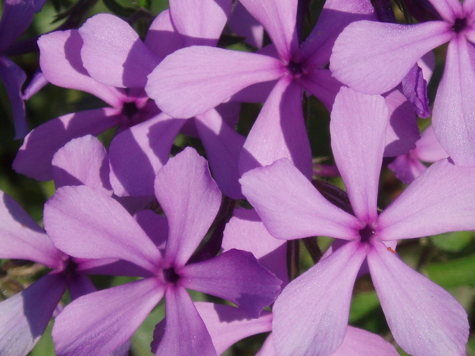 "{""blocks"":[{""key"":""64rps"",""text"":""Phlox divaricata Lapham's Woodland Phlox, Wild Sweet William - potted plants email john@easywildflowers.com"",""type"":""unstyled"",""depth"":0,""inlineStyleRanges"":[],""entityRanges"":[],""data"":{}}],""entityMap"":{}}"