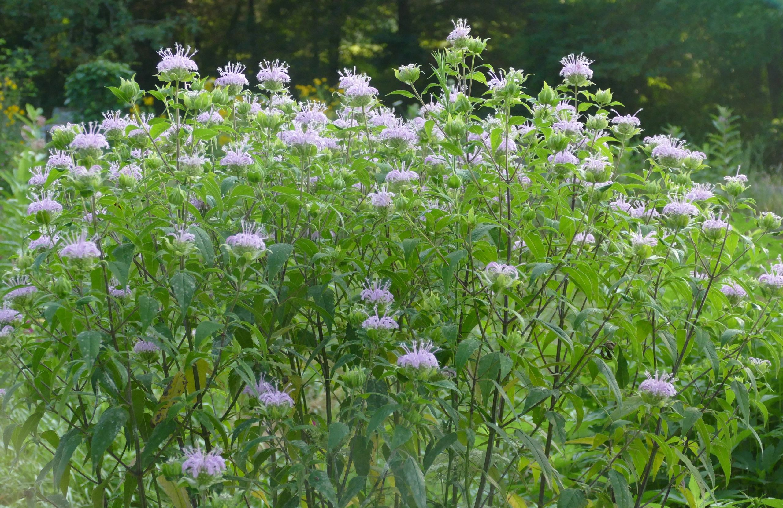 "{""blocks"":[{""key"":""518af"",""text"":""Monarda fistulosa Wild Bergamot Beebalm - potted plants email john@easywildflowers.com"",""type"":""unstyled"",""depth"":0,""inlineStyleRanges"":[],""entityRanges"":[],""data"":{}}],""entityMap"":{}}"