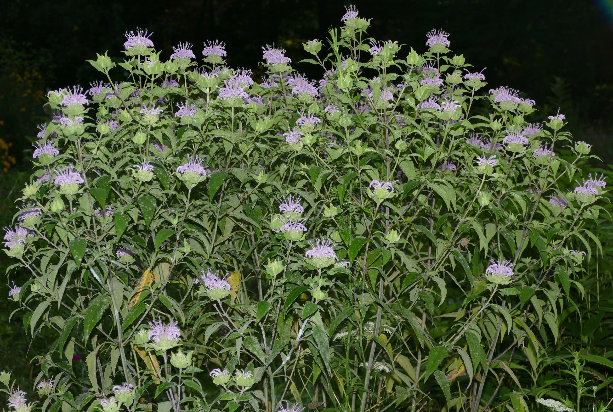 "{""blocks"":[{""key"":""66cq0"",""text"":""Monarda fistulosa Wild Bergamot Beebalm - potted plants email john@easywildflowers.com"",""type"":""unstyled"",""depth"":0,""inlineStyleRanges"":[],""entityRanges"":[],""data"":{}}],""entityMap"":{}}"