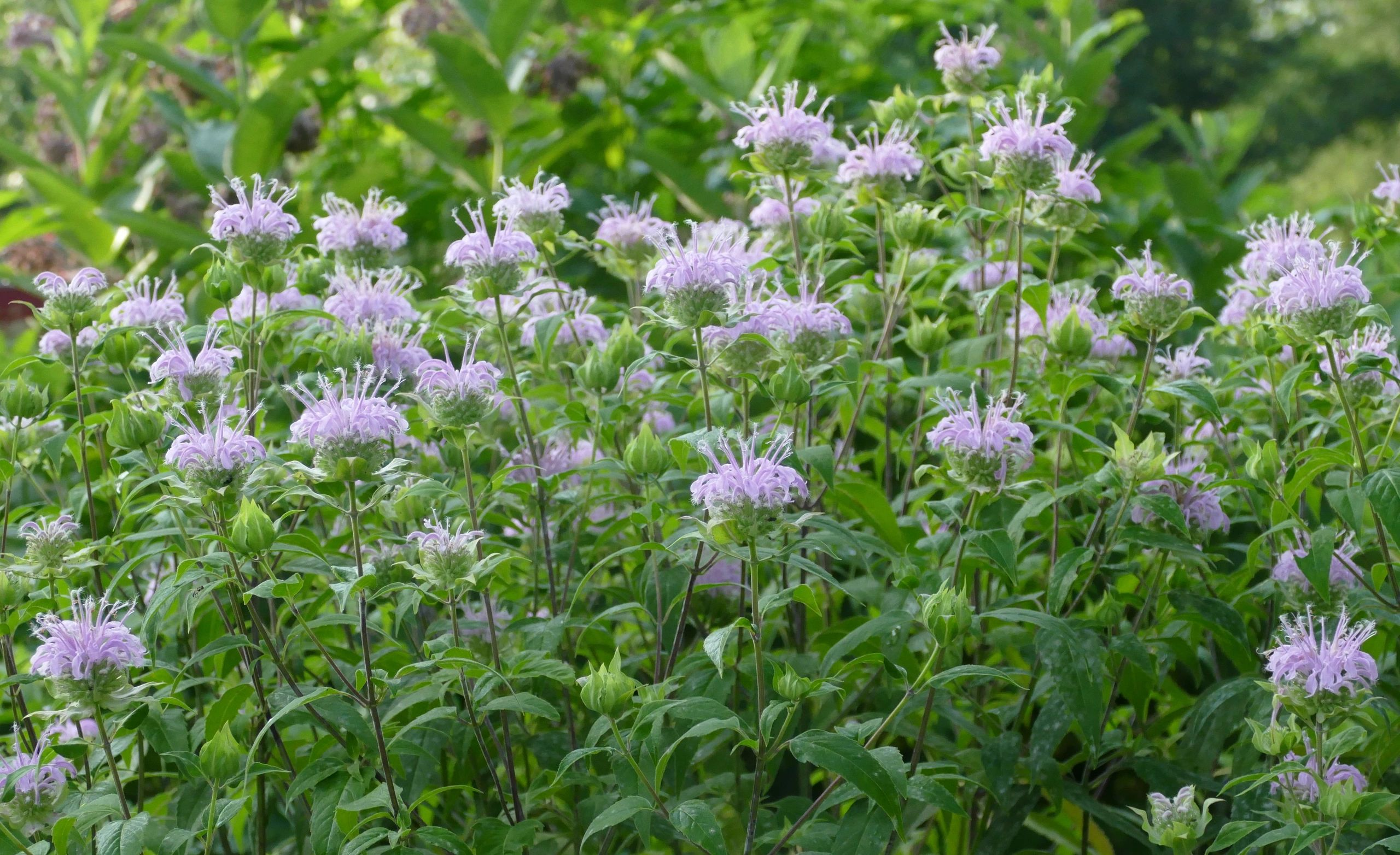 "{""blocks"":[{""key"":""3ssqo"",""text"":""Monarda fistulosa Wild Bergamot Beebalm - potted plants email john@easywildflowers.com"",""type"":""unstyled"",""depth"":0,""inlineStyleRanges"":[],""entityRanges"":[],""data"":{}}],""entityMap"":{}}"