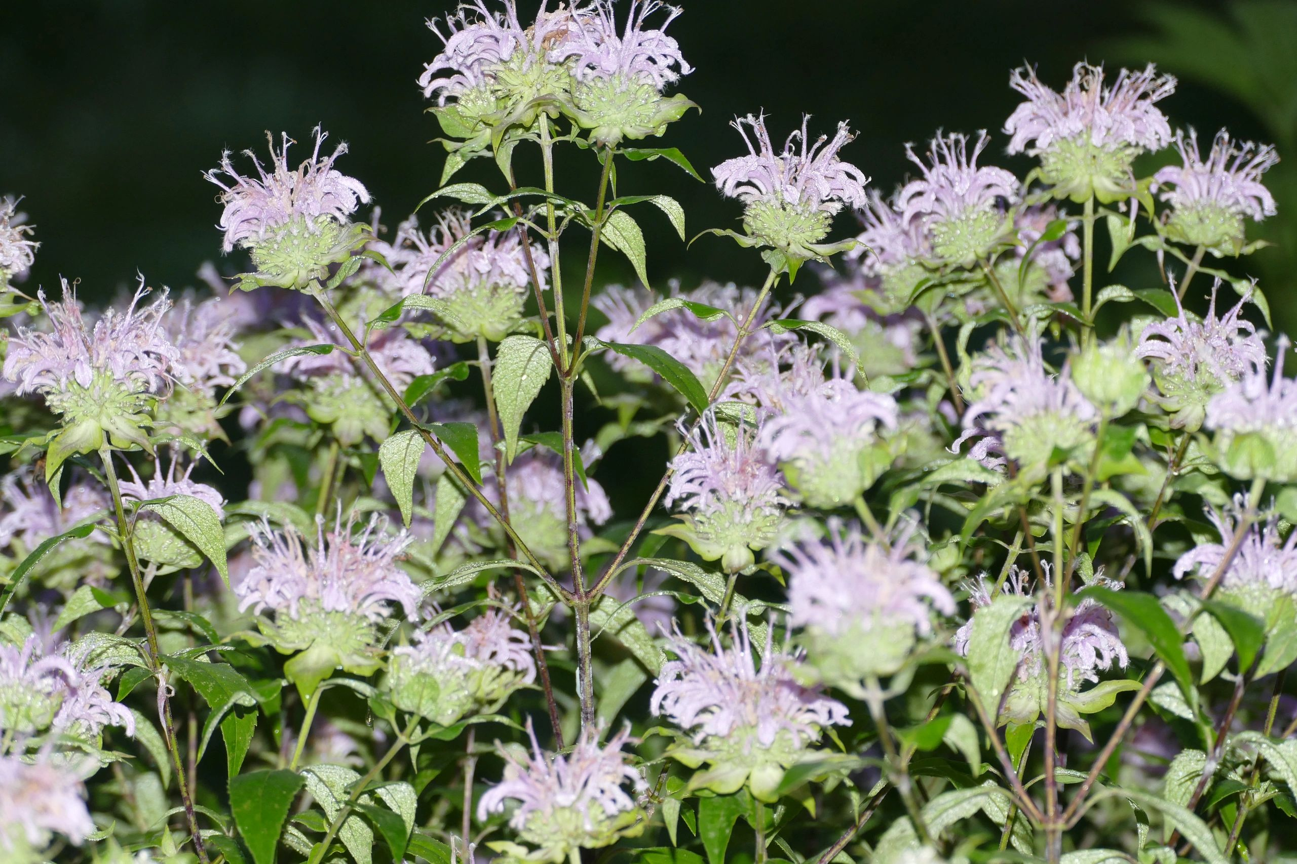 "{""blocks"":[{""key"":""52tco"",""text"":""Monarda bradburiana Horsemint, Eastern Beebalm -  potted plants email john@easywildflowers.com"",""type"":""unstyled"",""depth"":0,""inlineStyleRanges"":[],""entityRanges"":[],""data"":{}}],""entityMap"":{}}"
