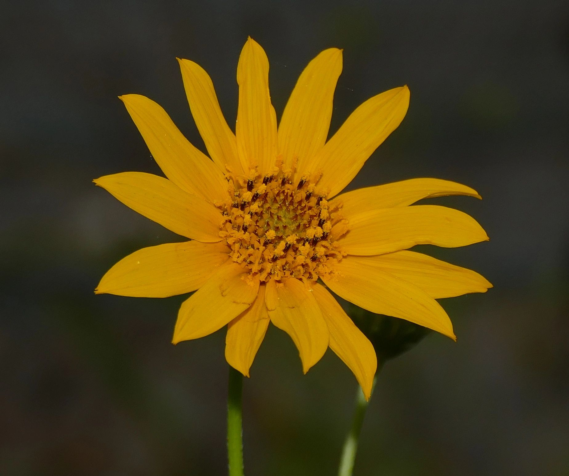 "{""blocks"":[{""key"":""bl311"",""text"":"" Helianthus occidentalis few leaf Western Sunflower - potted plants  john@easywildflowers.com \t "",""type"":""unstyled"",""depth"":0,""inlineStyleRanges"":[],""entityRanges"":[],""data"":{}}],""entityMap"":{}}"
