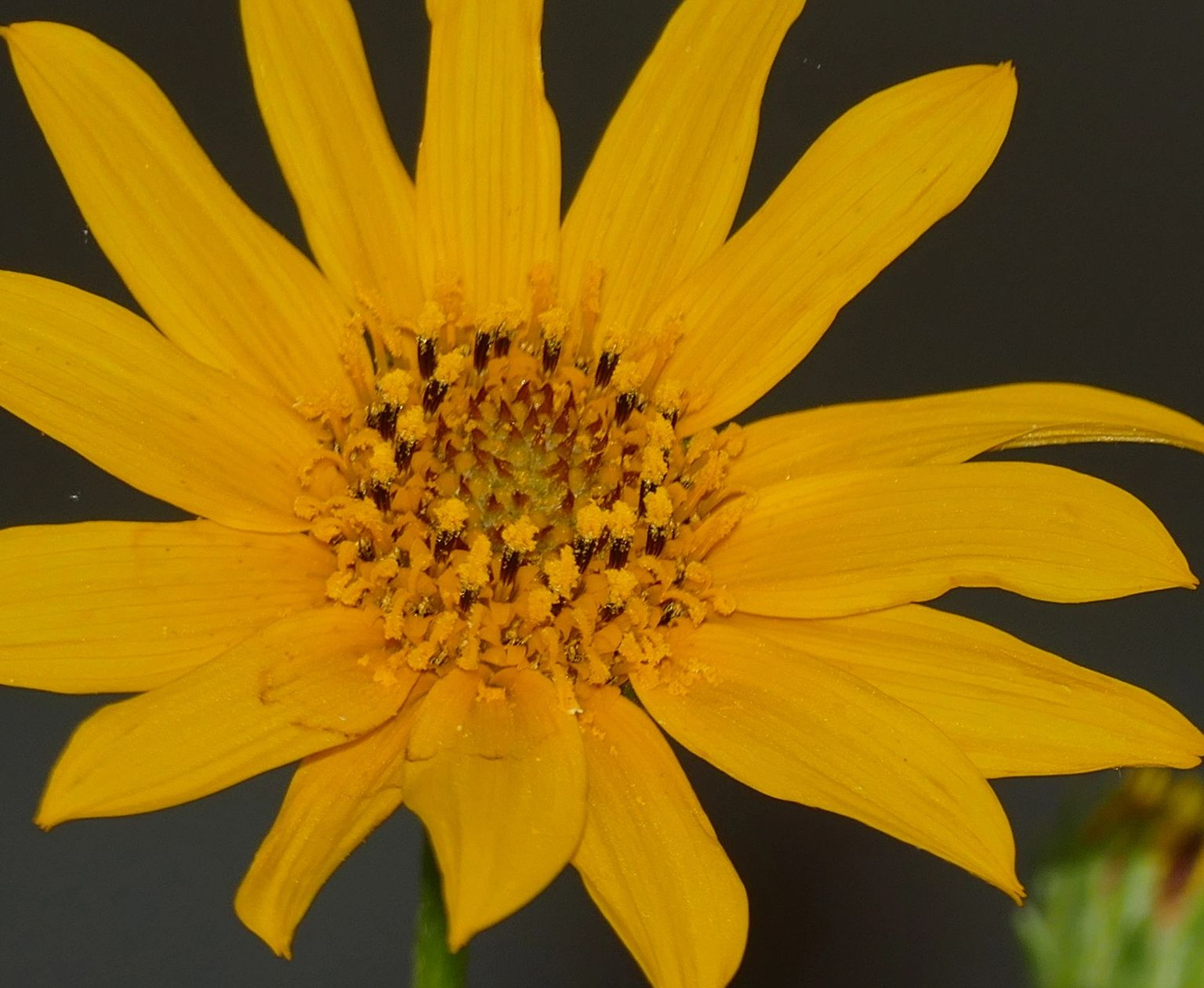 "{""blocks"":[{""key"":""fkr9c"",""text"":"" Helianthus occidentalis few leaf Western Sunflower - potted plants  john@easywildflowers.com \t "",""type"":""unstyled"",""depth"":0,""inlineStyleRanges"":[],""entityRanges"":[],""data"":{}}],""entityMap"":{}}"