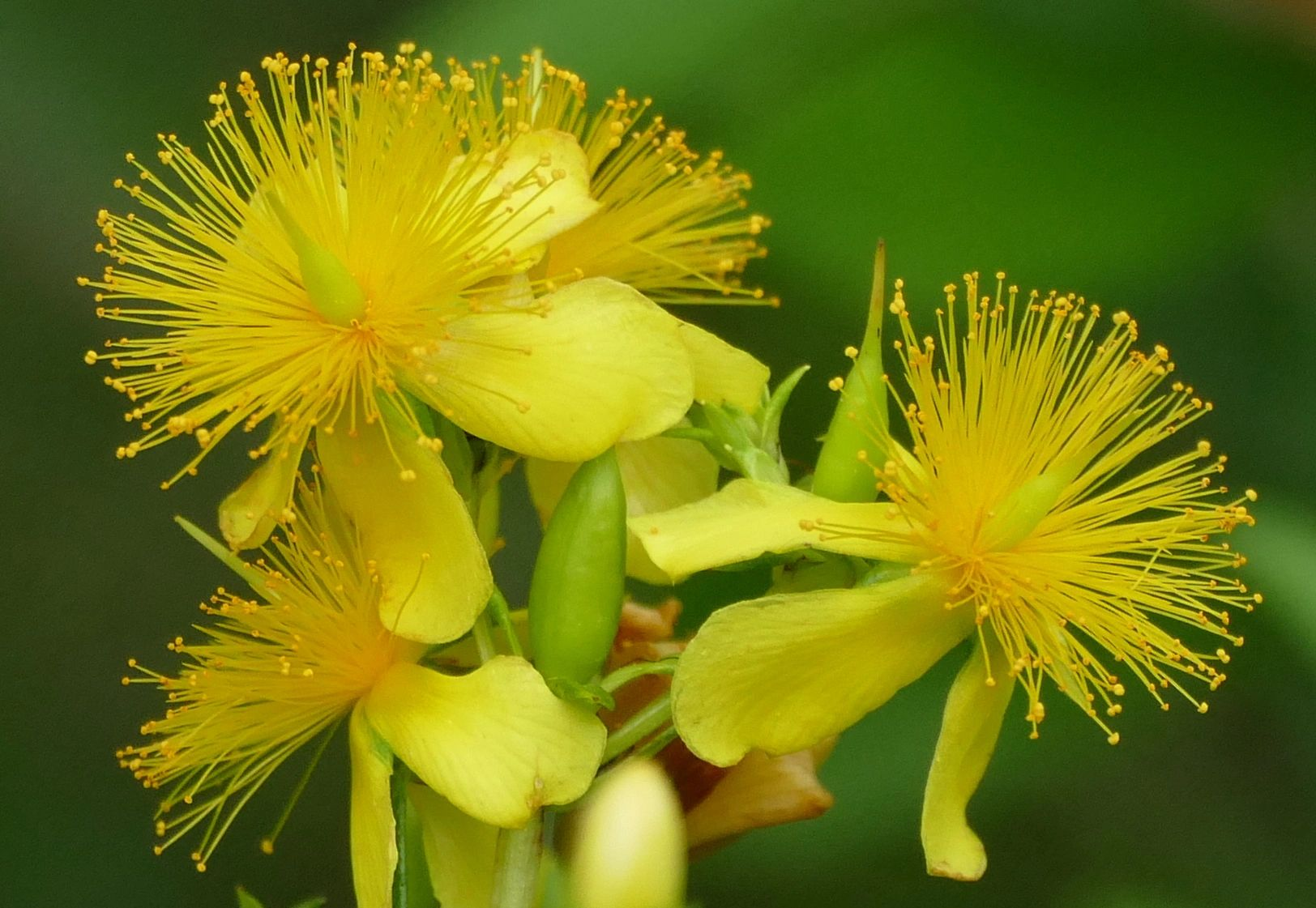 "{""blocks"":[{""key"":""8j0fh"",""text"":""Hypericum prolificum Shrubby St. John's wort - potted plants email john@easywildflowers.com "",""type"":""unstyled"",""depth"":0,""inlineStyleRanges"":[],""entityRanges"":[],""data"":{}}],""entityMap"":{}}"