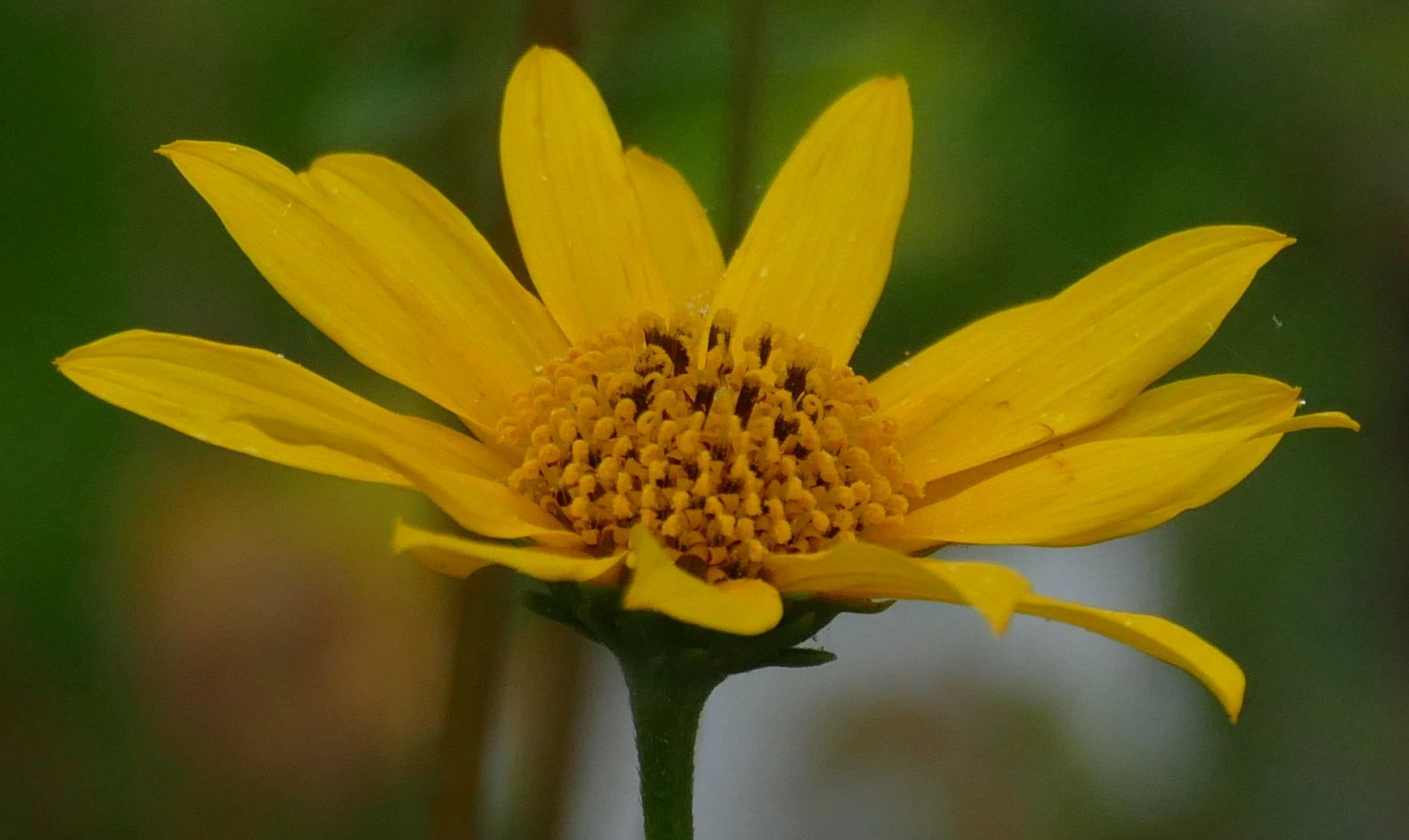 "{""blocks"":[{""key"":""4jgbe"",""text"":""Helianthus occidentalis few leaf Western Sunflower - potted plants  john@easywildflowers.com \t"",""type"":""unstyled"",""depth"":0,""inlineStyleRanges"":[],""entityRanges"":[],""data"":{}}],""entityMap"":{}}"
