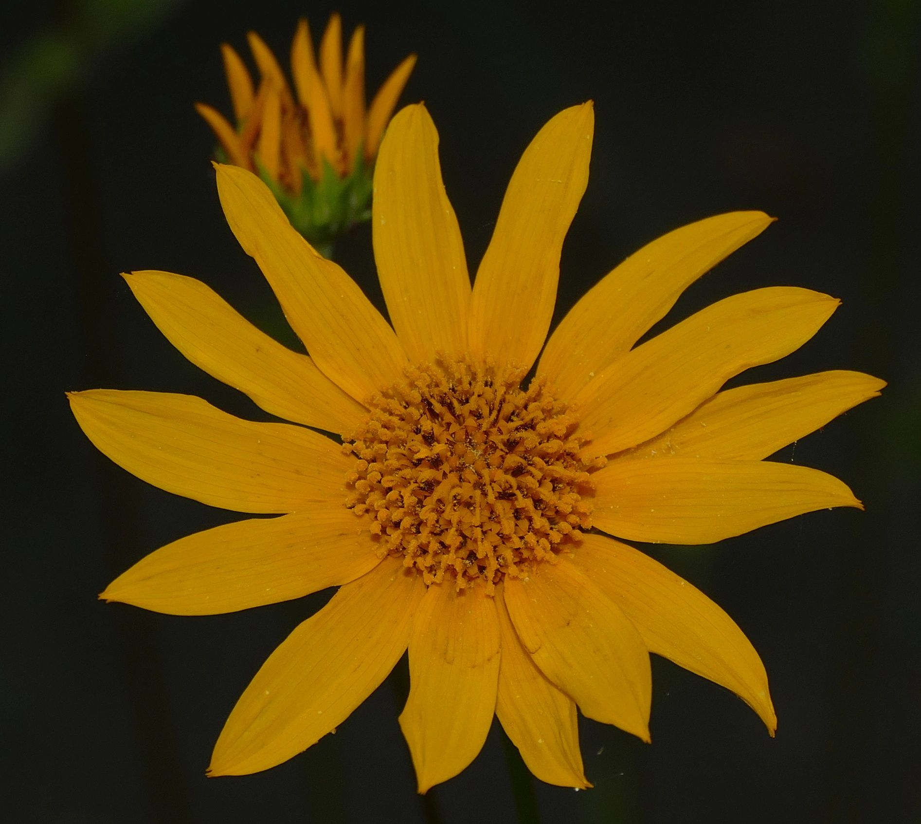 "{""blocks"":[{""key"":""auvq5"",""text"":"" Helianthus occidentalis few leaf Western Sunflower - potted plants email john@easywildflowers.com \t"",""type"":""unstyled"",""depth"":0,""inlineStyleRanges"":[],""entityRanges"":[],""data"":{}}],""entityMap"":{}}"