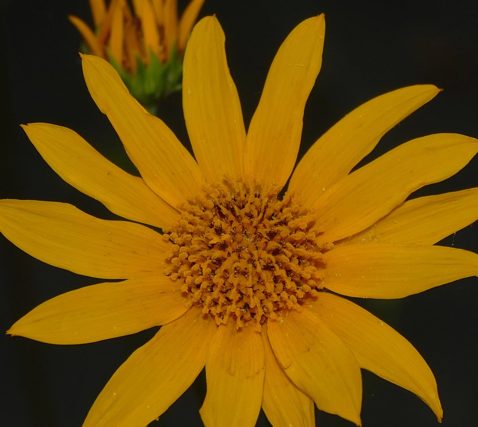 "{""blocks"":[{""key"":""auvq5"",""text"":"" Helianthus occidentalis few leaf Western Sunflower - potted plants  john@easywildflowers.com \t "",""type"":""unstyled"",""depth"":0,""inlineStyleRanges"":[],""entityRanges"":[],""data"":{}}],""entityMap"":{}}"